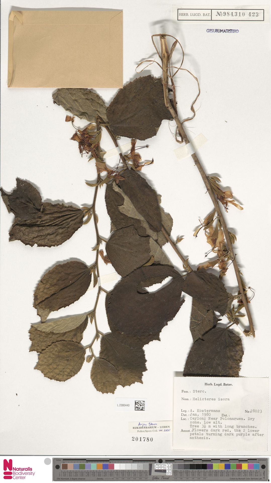 L.2380440   Helicteres isora L.
