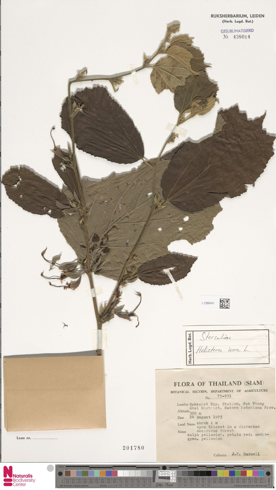L.2380441 | Helicteres isora L.
