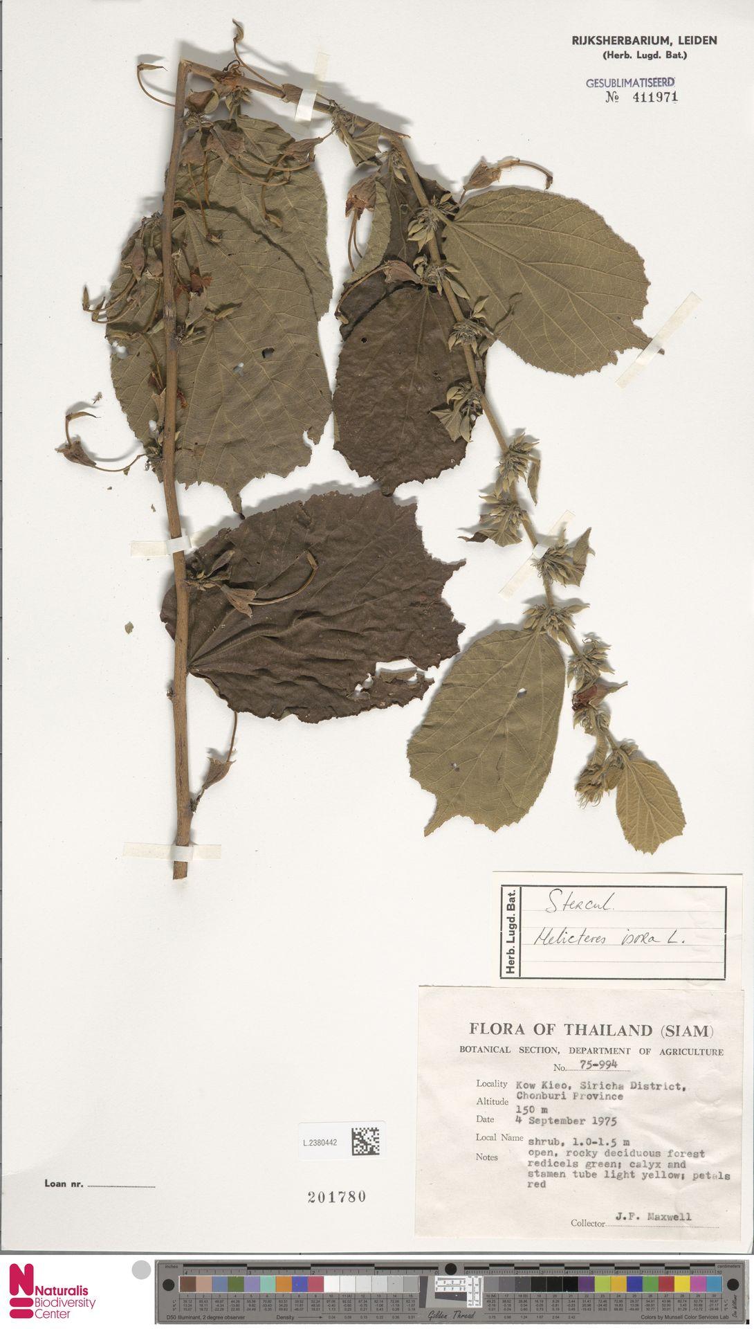 L.2380442 | Helicteres isora L.