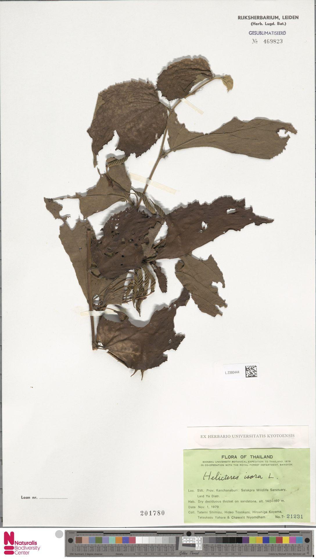 L.2380444 | Helicteres isora L.