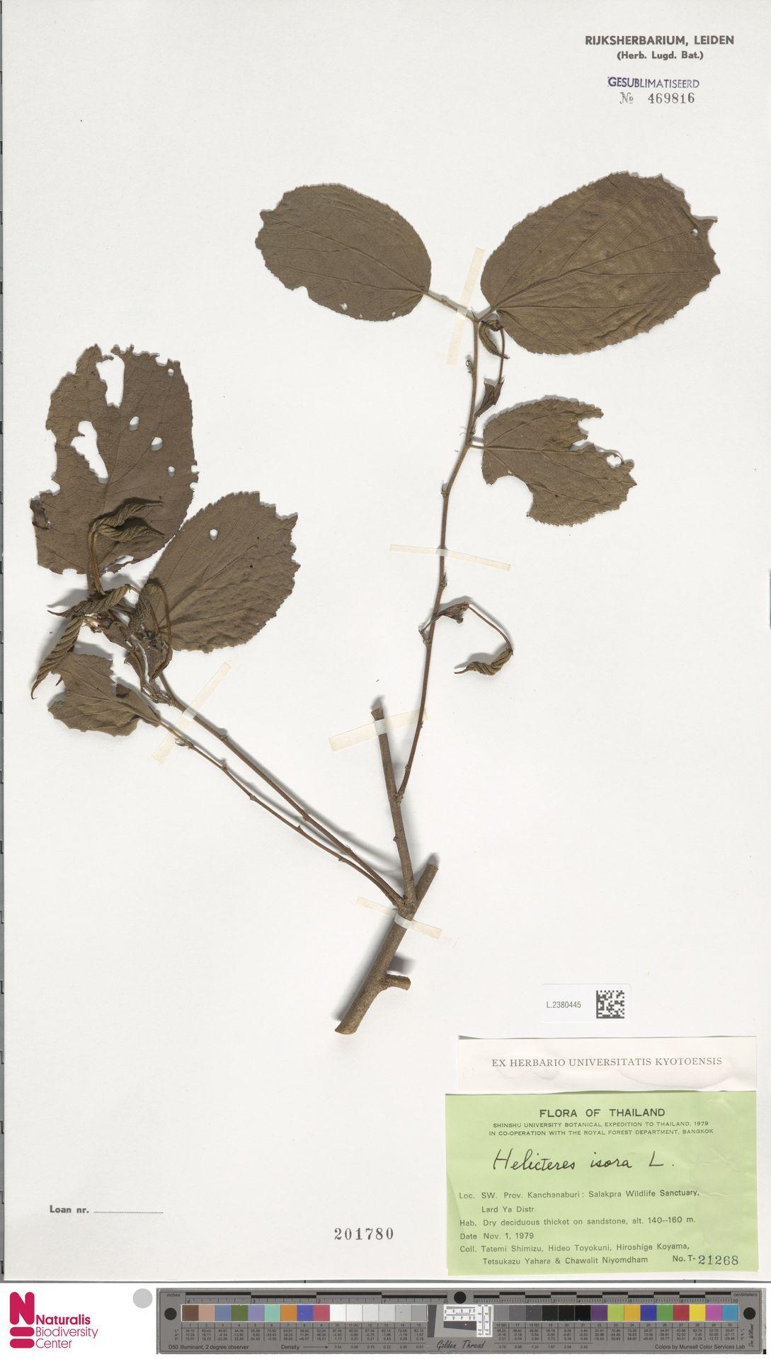 L.2380445 | Helicteres isora L.
