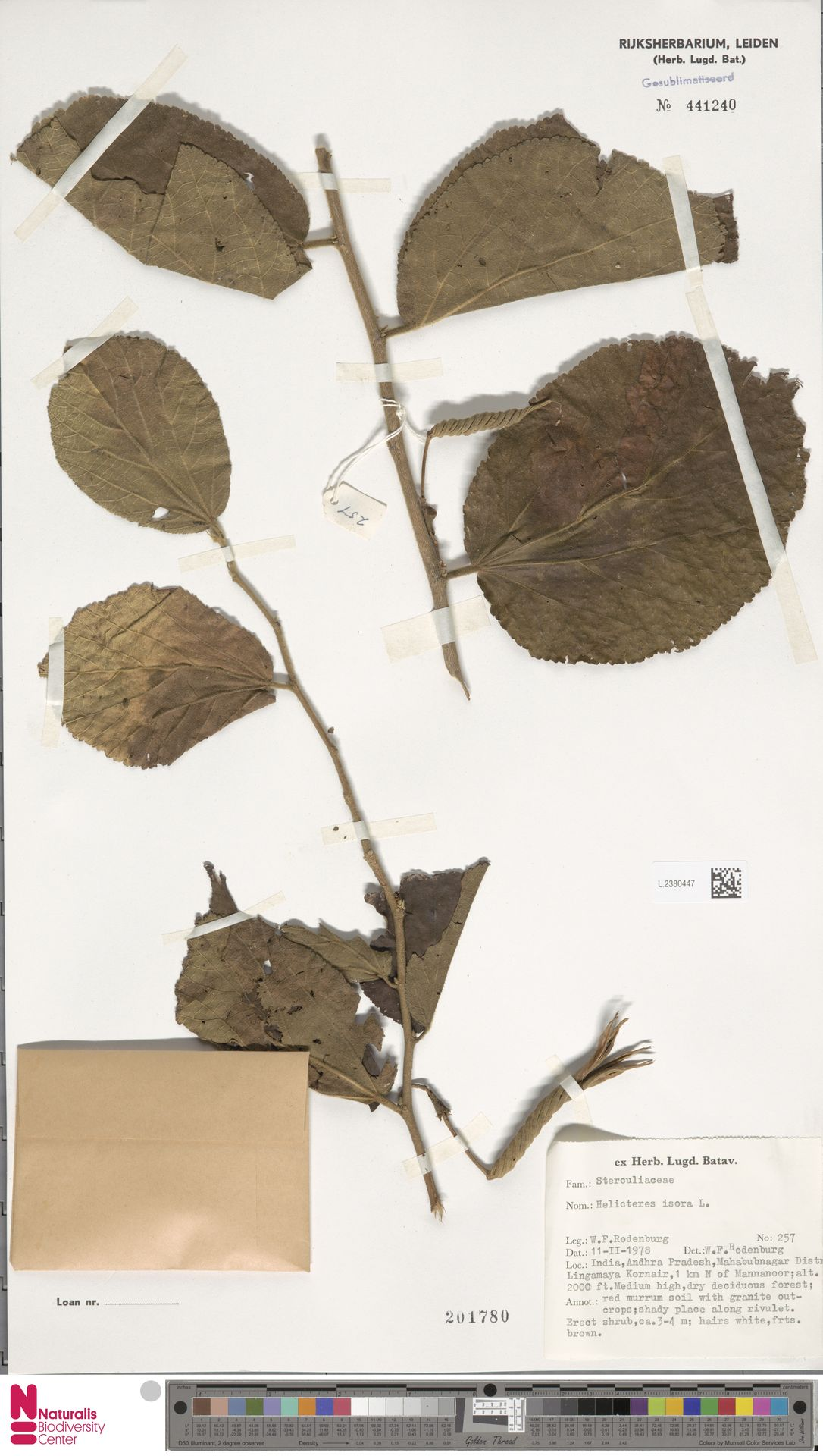 L.2380447 | Helicteres isora L.