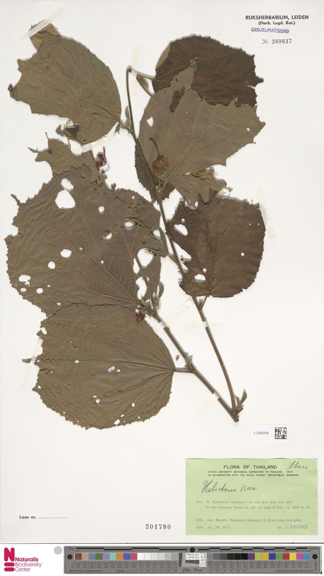 L.2380448 | Helicteres isora L.