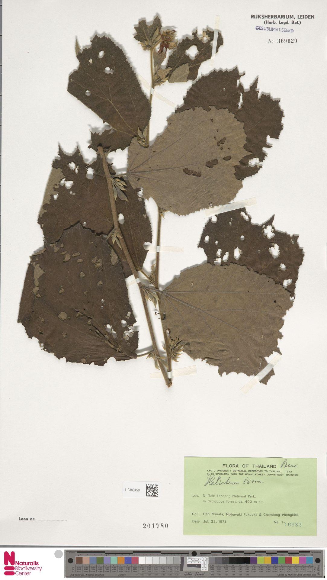 L.2380450 | Helicteres isora L.