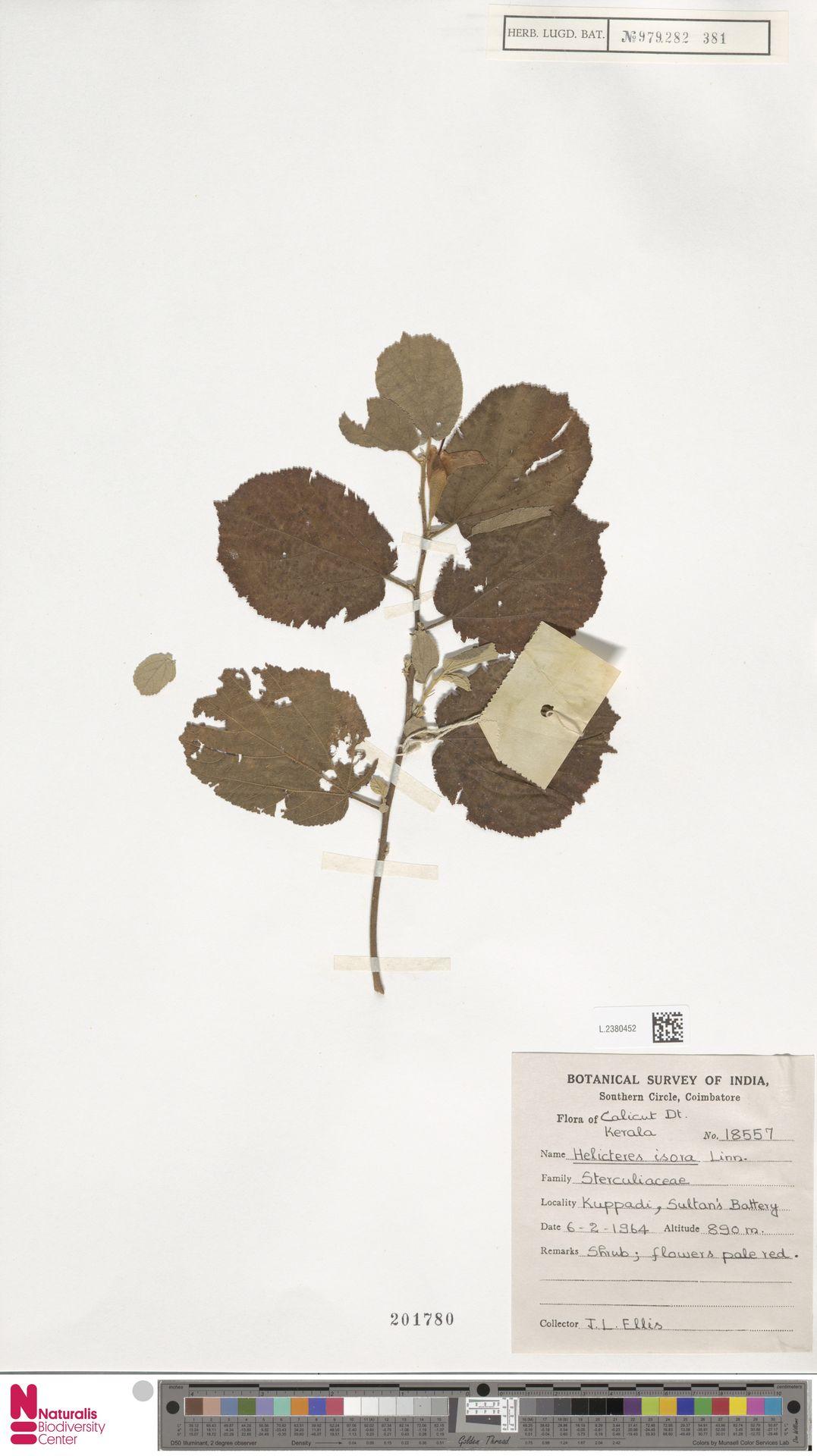 L.2380452 | Helicteres isora L.
