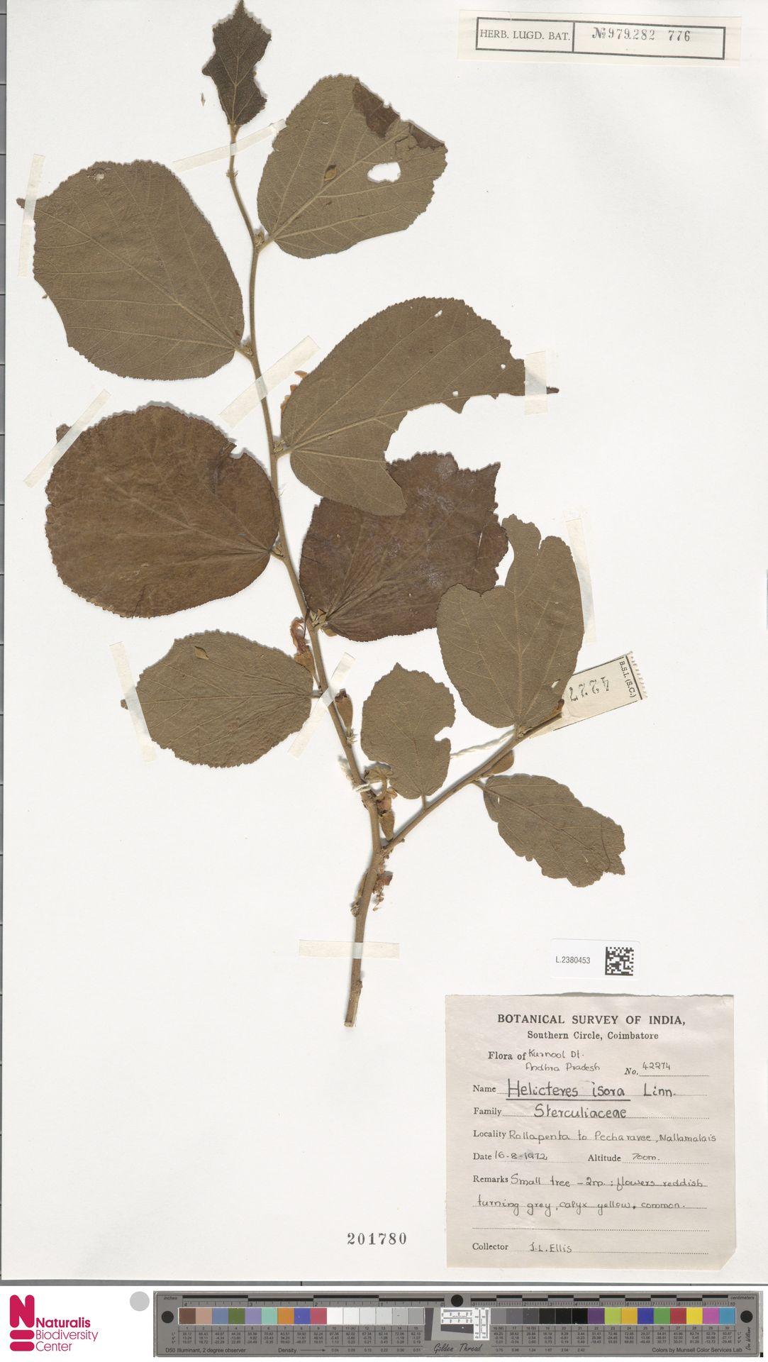 L.2380453 | Helicteres isora L.