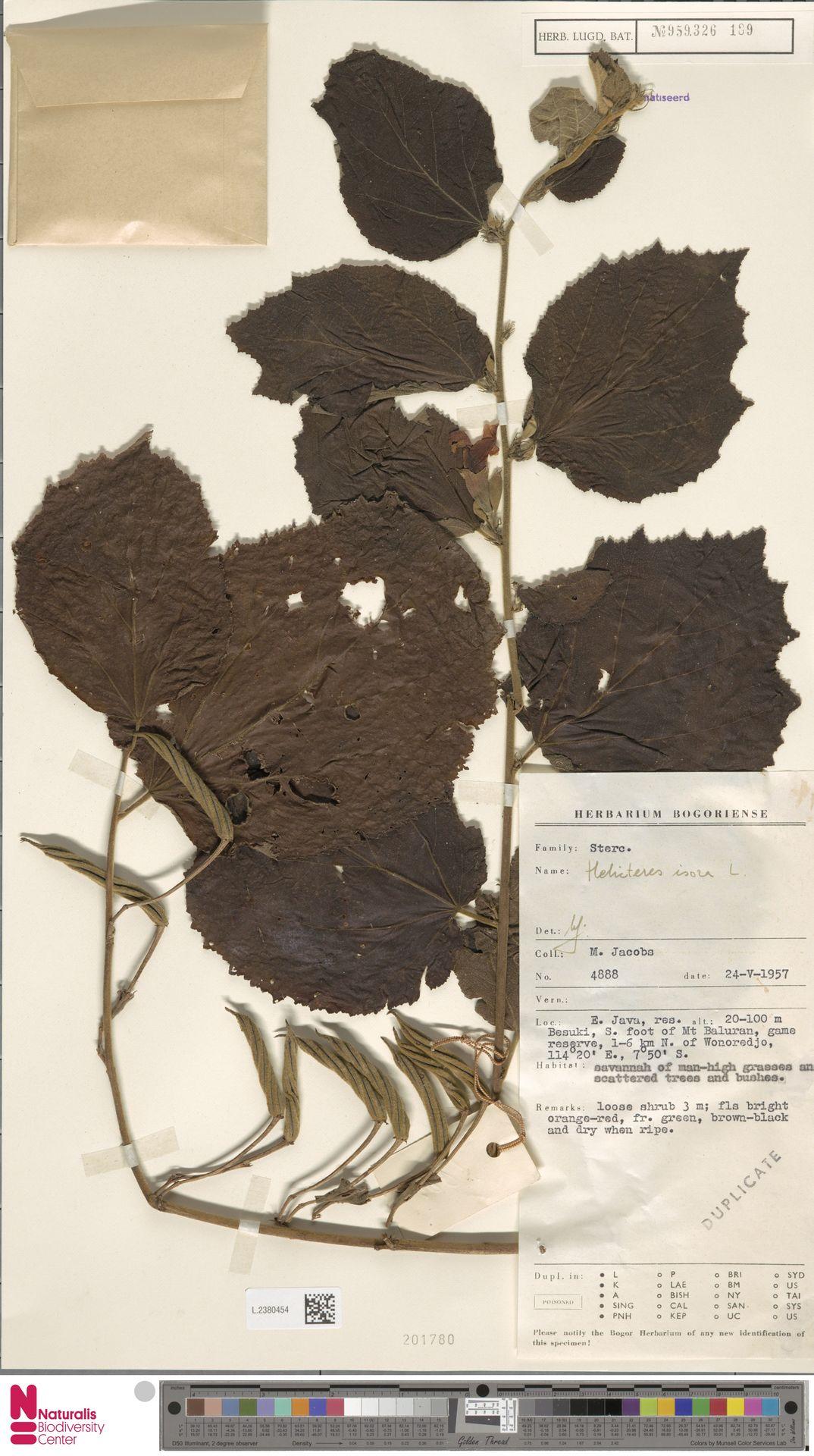 L.2380454 | Helicteres isora L.