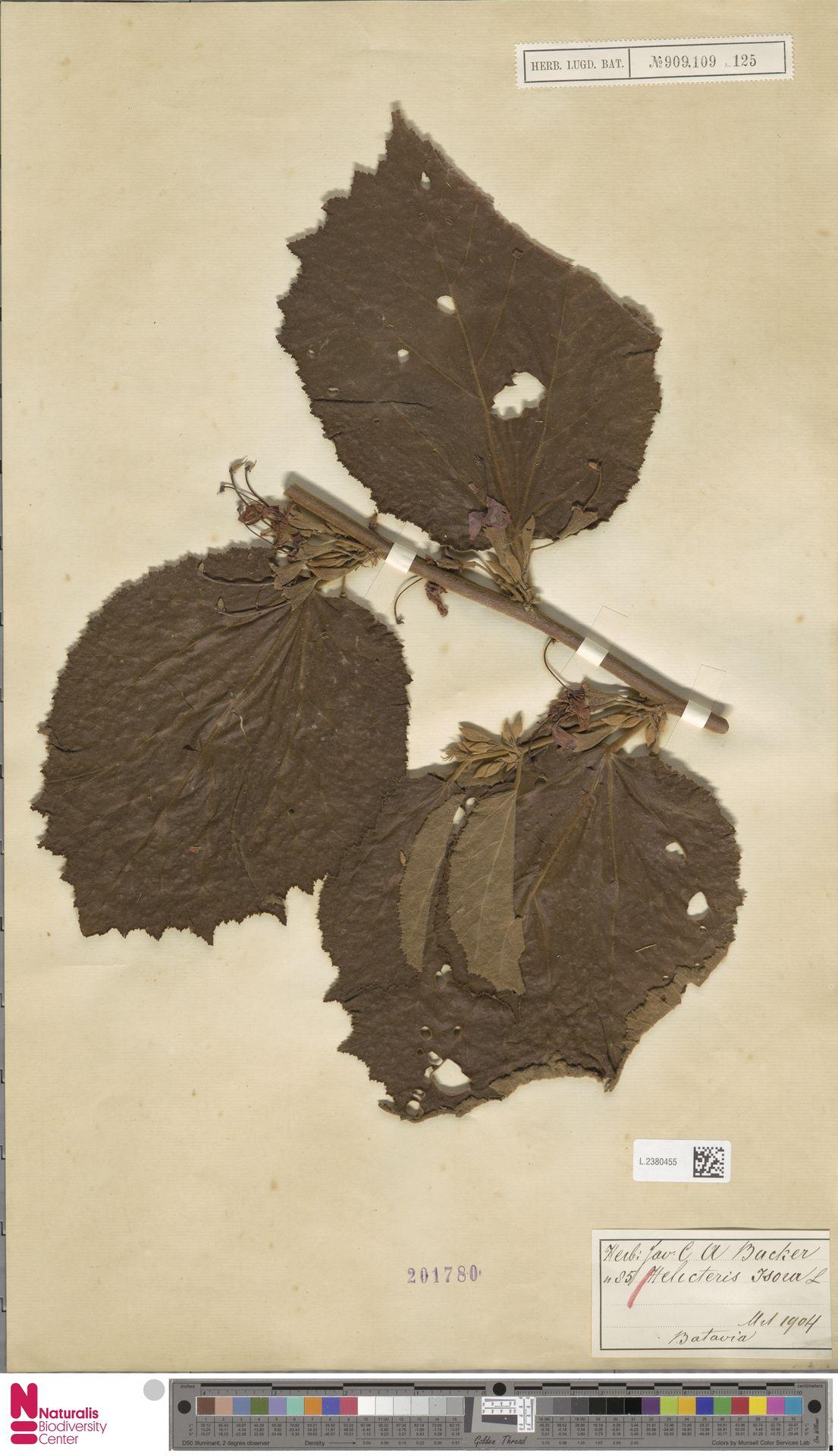 L.2380455 | Helicteres isora L.