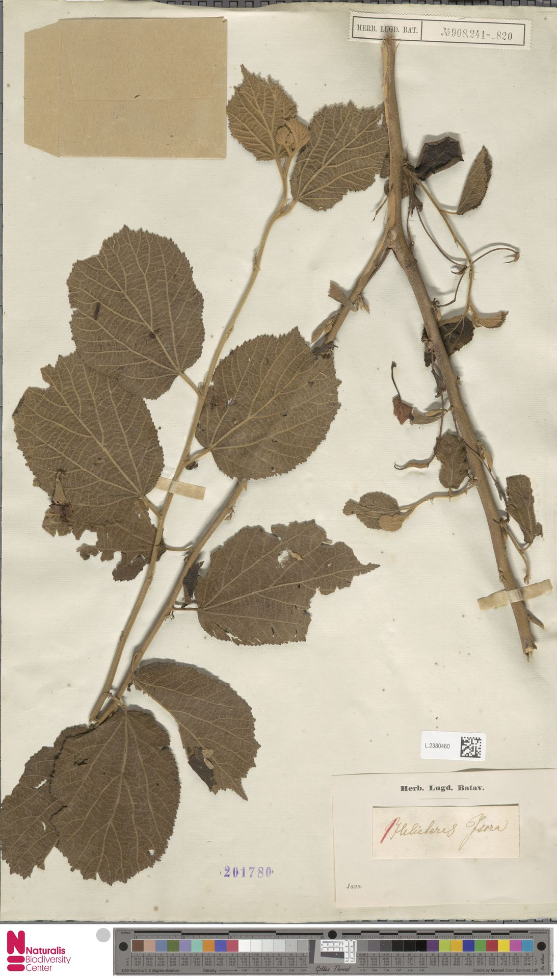 L.2380460 | Helicteres isora L.