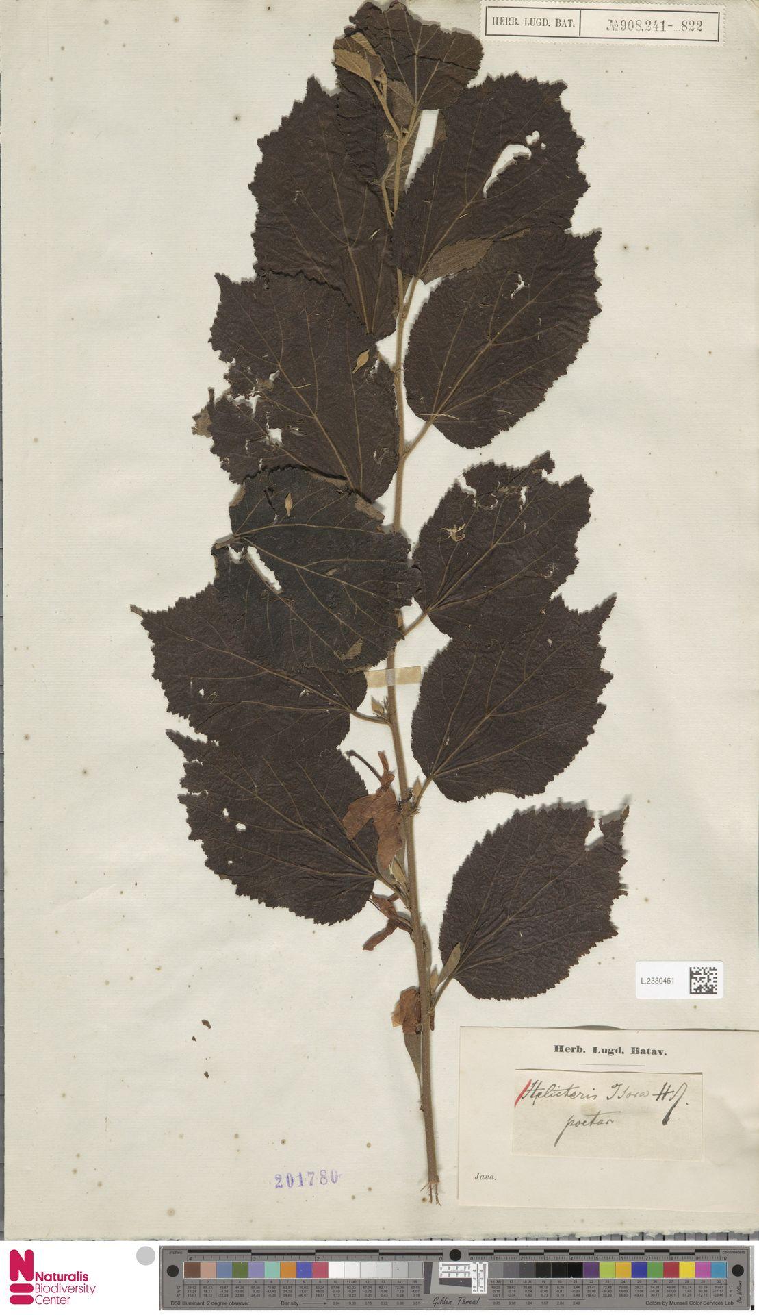 L.2380461 | Helicteres isora L.