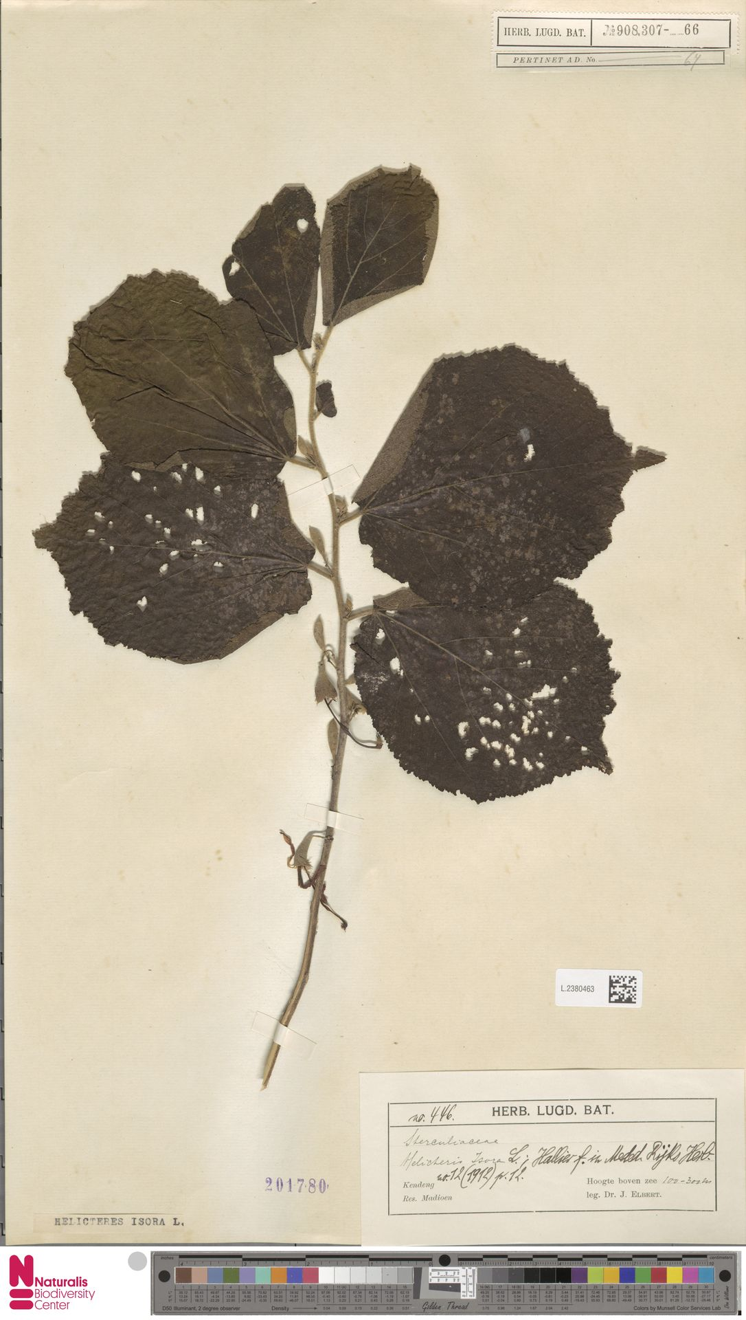 L.2380463 | Helicteres isora L.