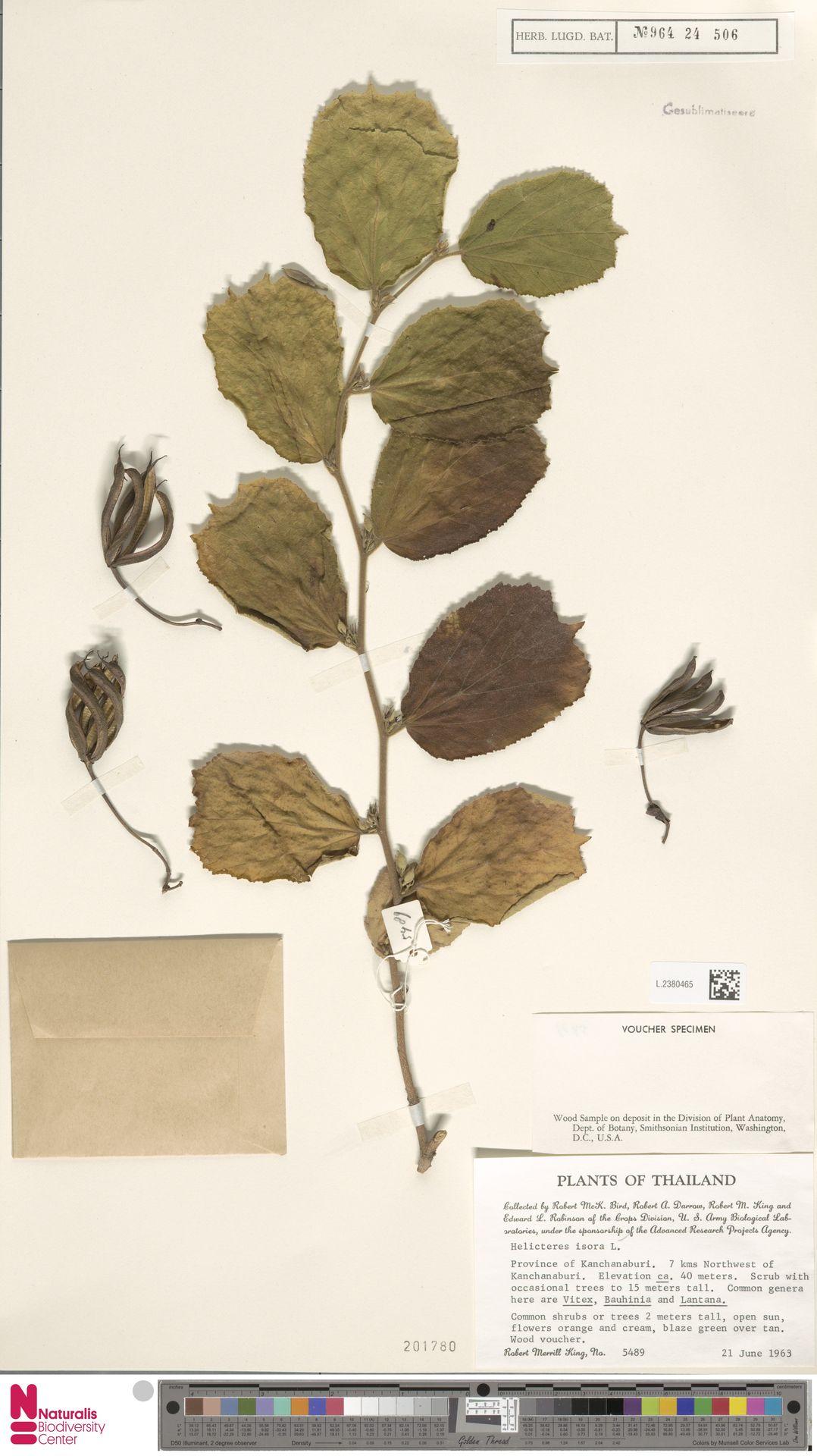 L.2380465 | Helicteres isora L.