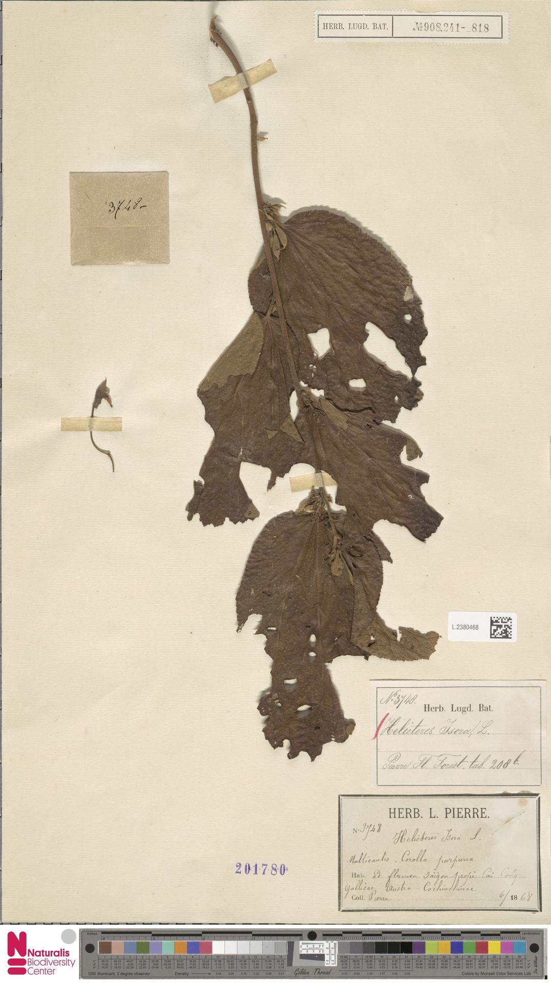 L.2380468 | Helicteres isora L.