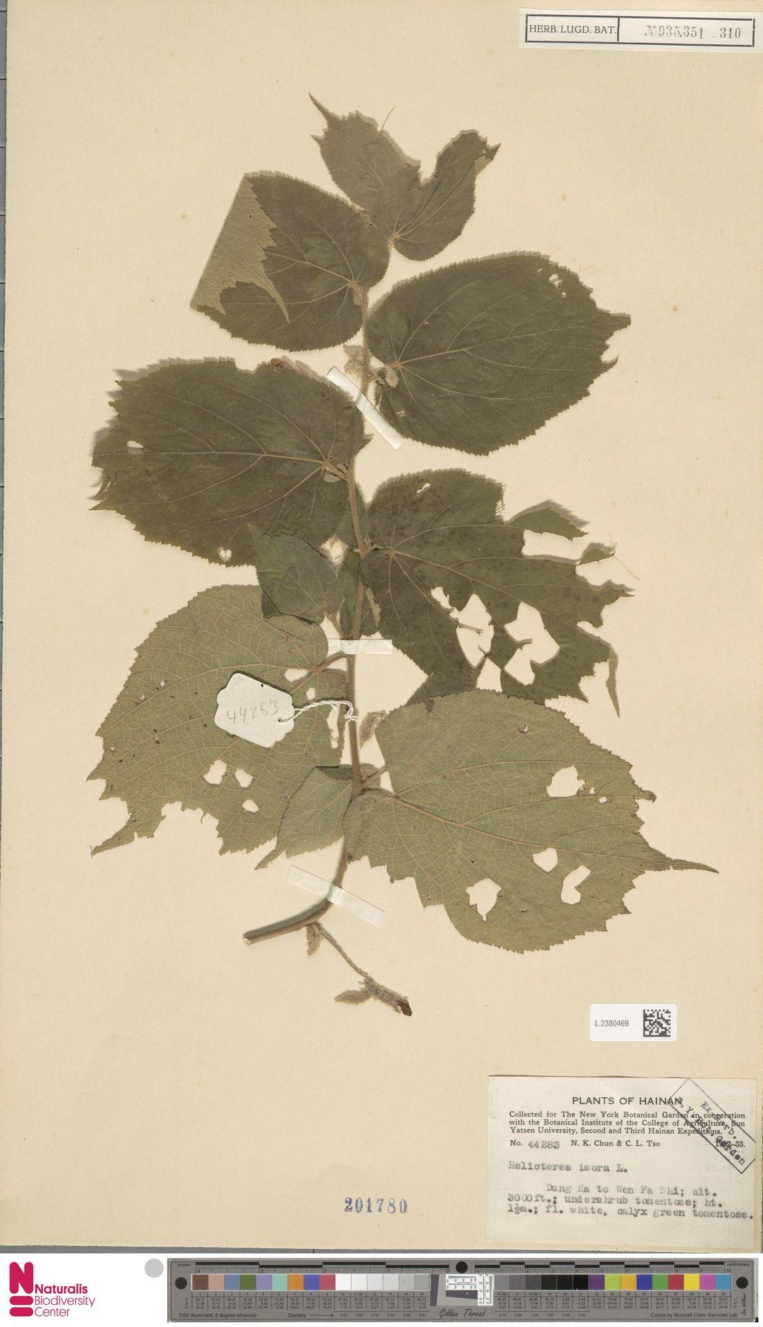 L.2380469   Helicteres isora L.