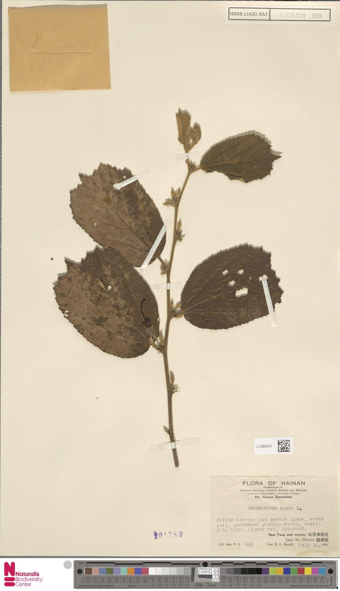 L.2380470 | Helicteres isora L.