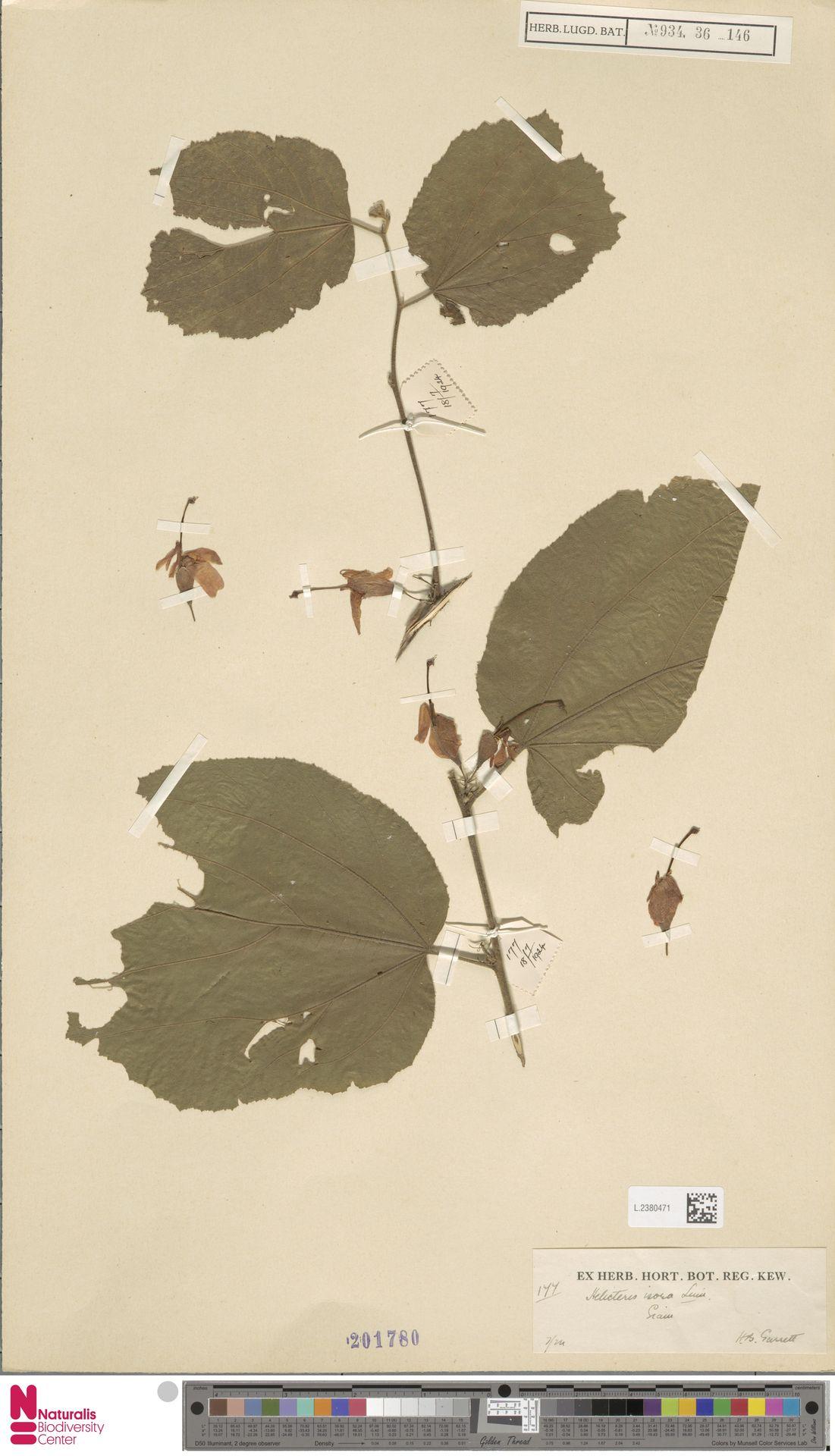 L.2380471 | Helicteres isora L.