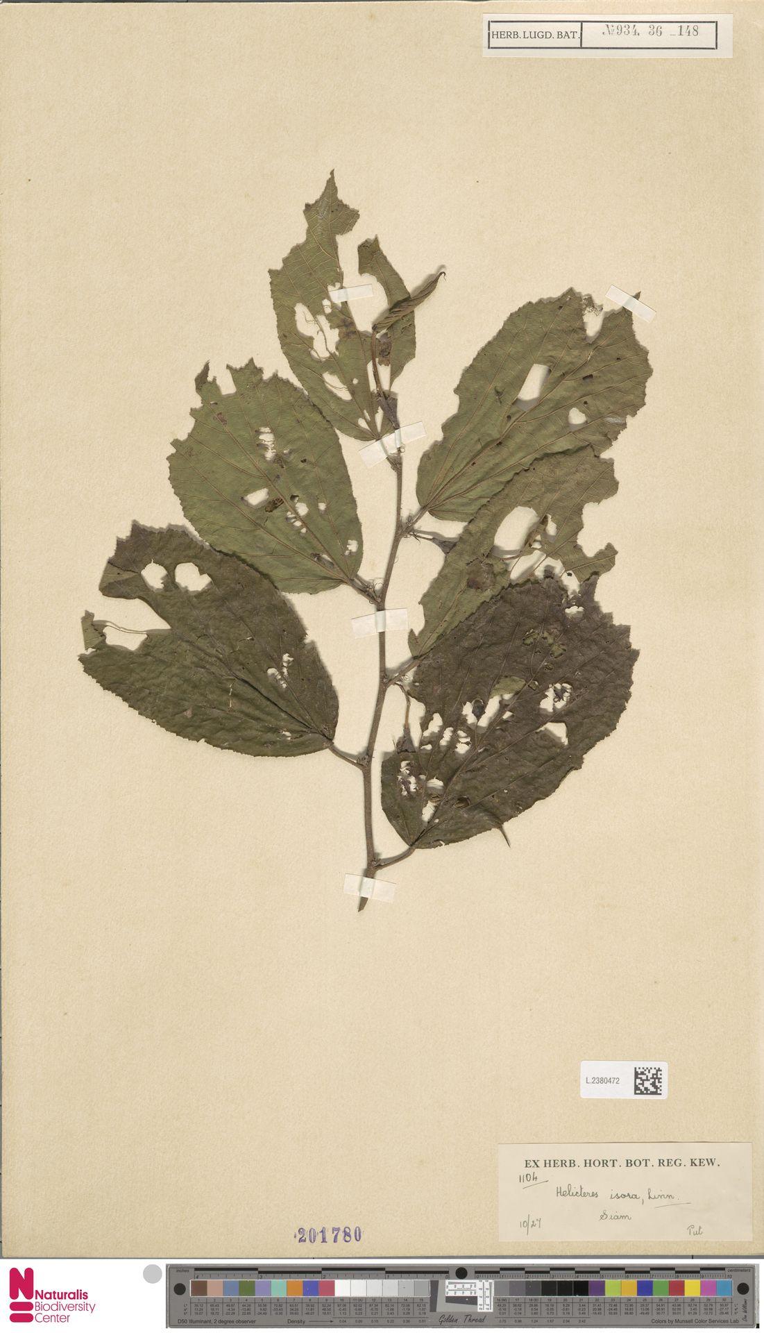 L.2380472 | Helicteres isora L.
