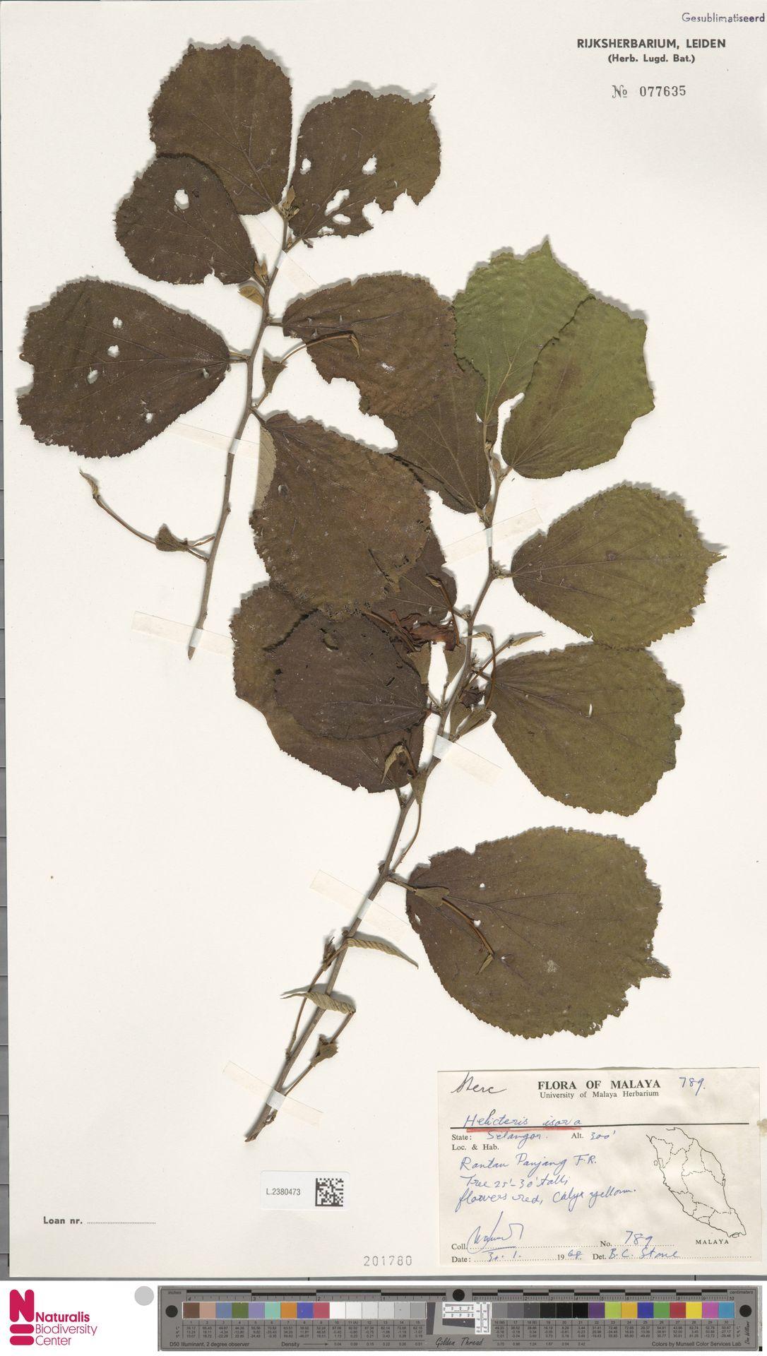 L.2380473 | Helicteres isora L.
