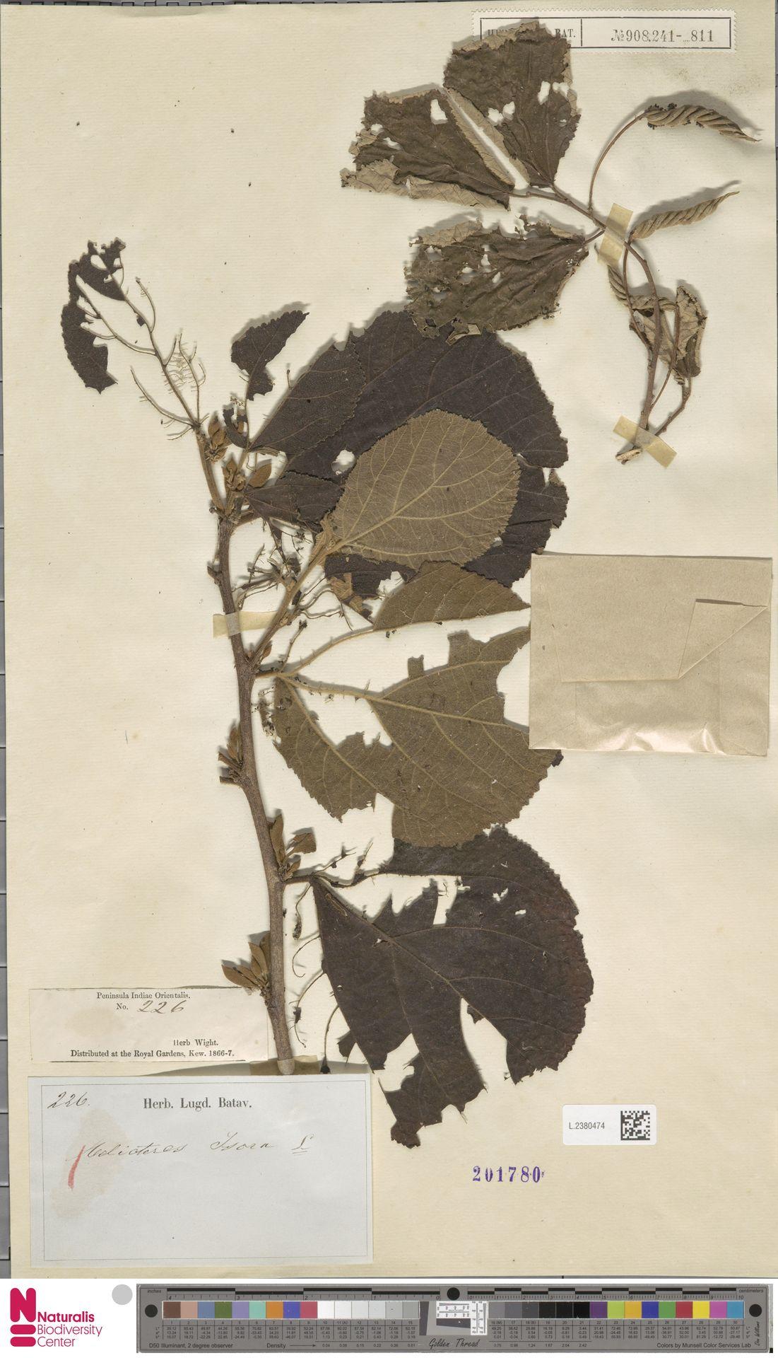 L.2380474 | Helicteres isora L.