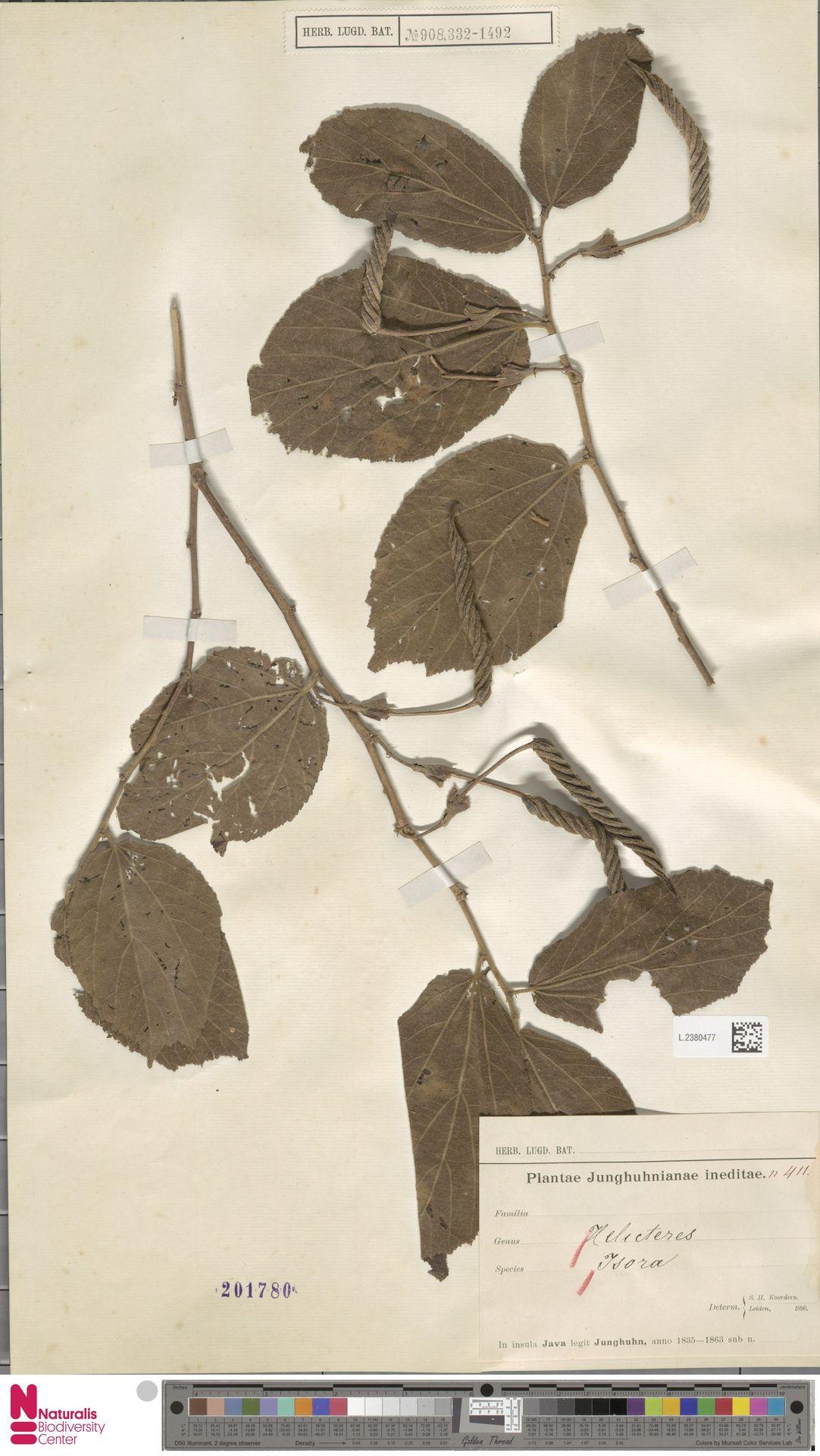 L.2380477   Helicteres isora L.