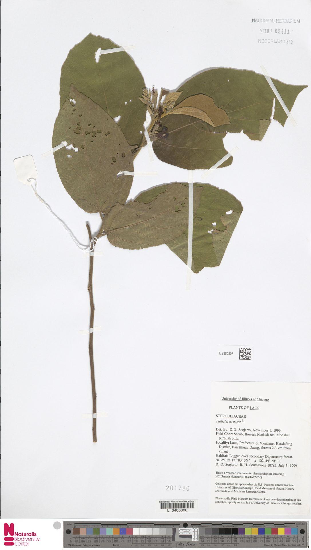 L.2380507 | Helicteres isora L.