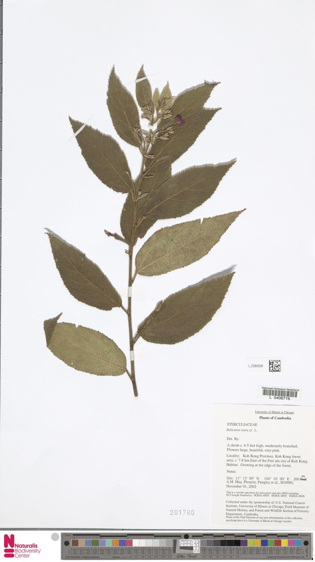 L.2380508 | Helicteres isora L.