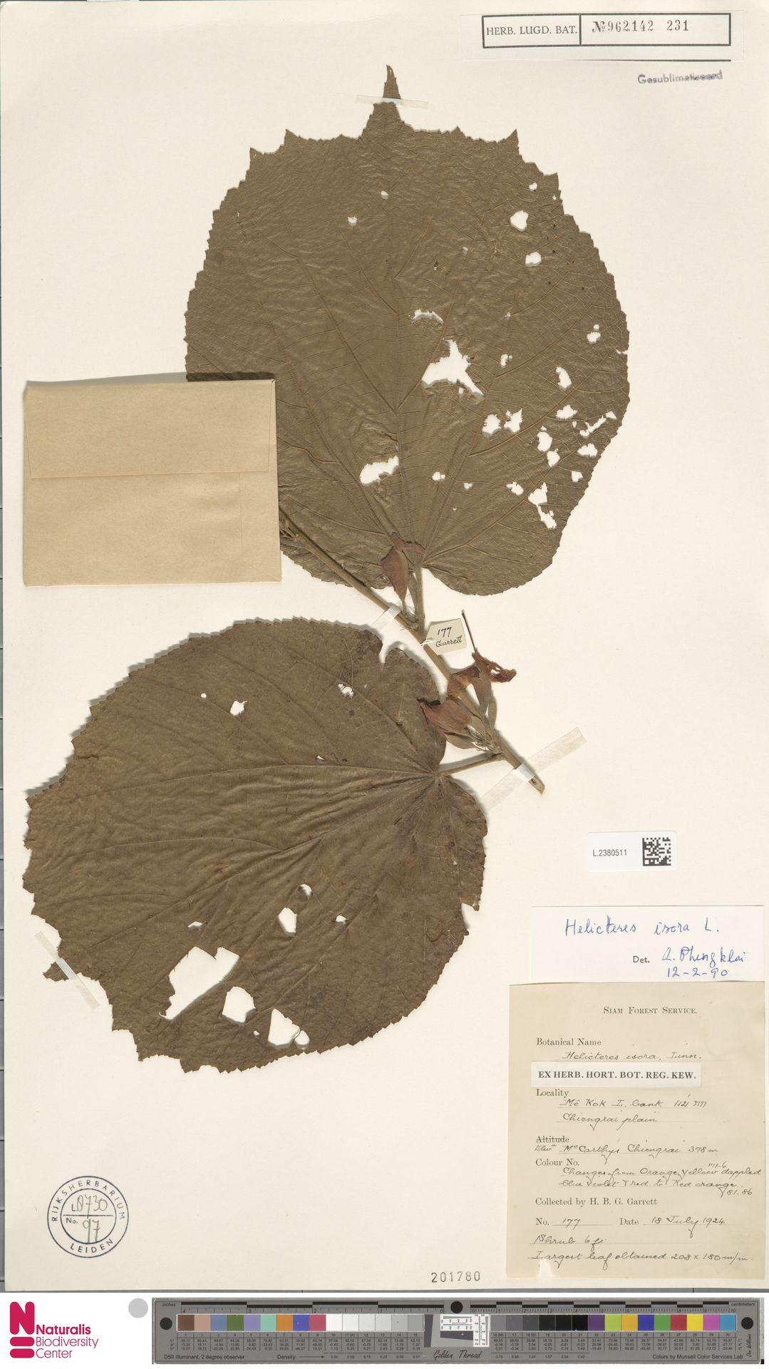 L.2380511 | Helicteres isora L.