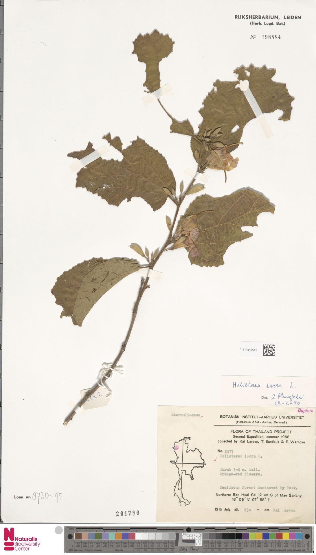 L.2380512 | Helicteres isora L.