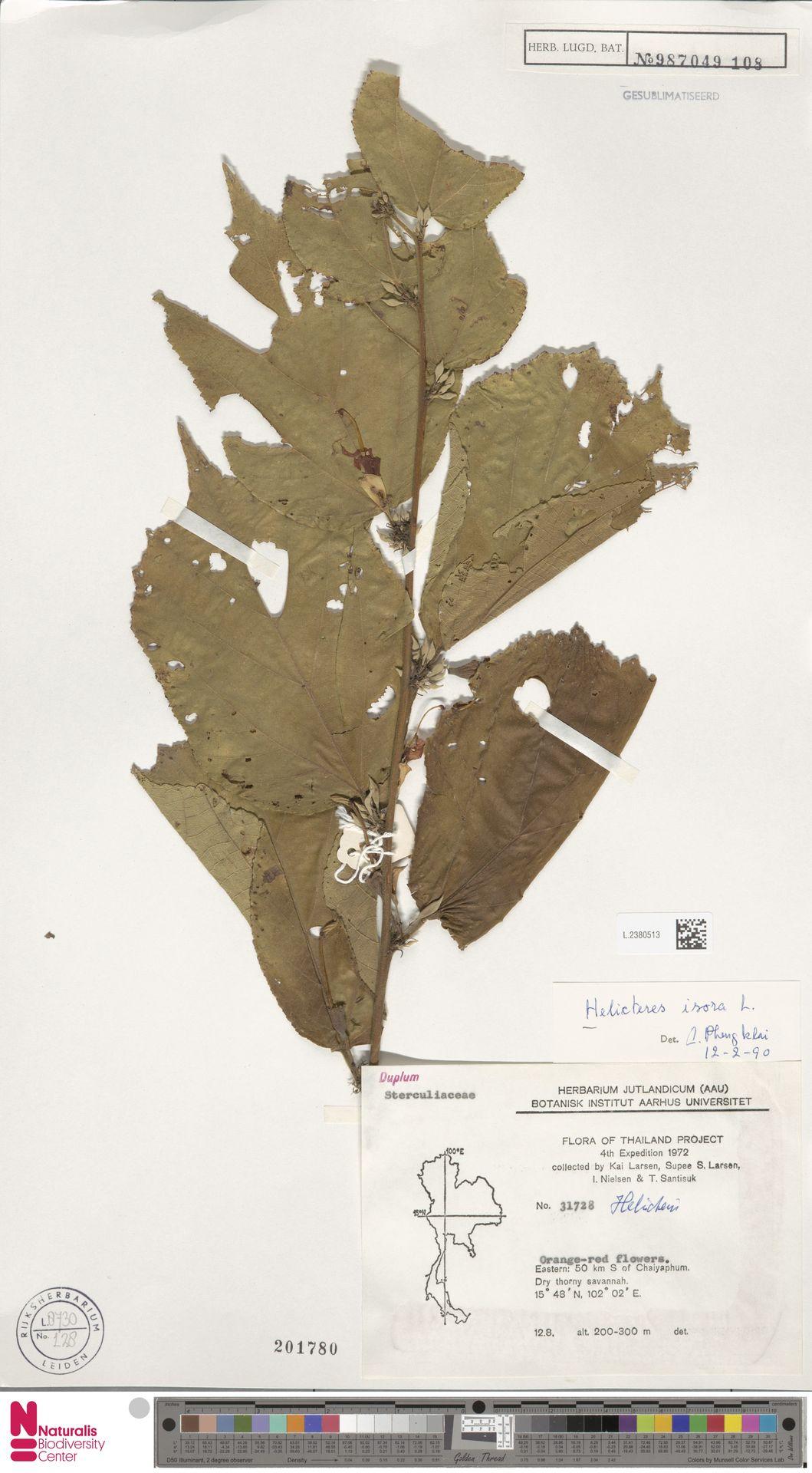 L.2380513 | Helicteres isora L.