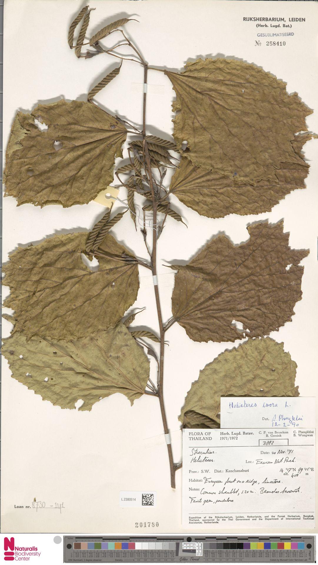 L.2380514 | Helicteres isora L.