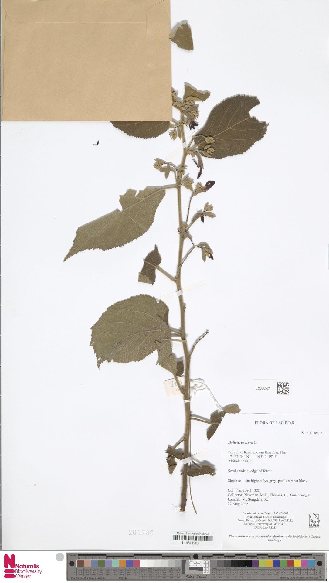 L.2380521 | Helicteres isora L.