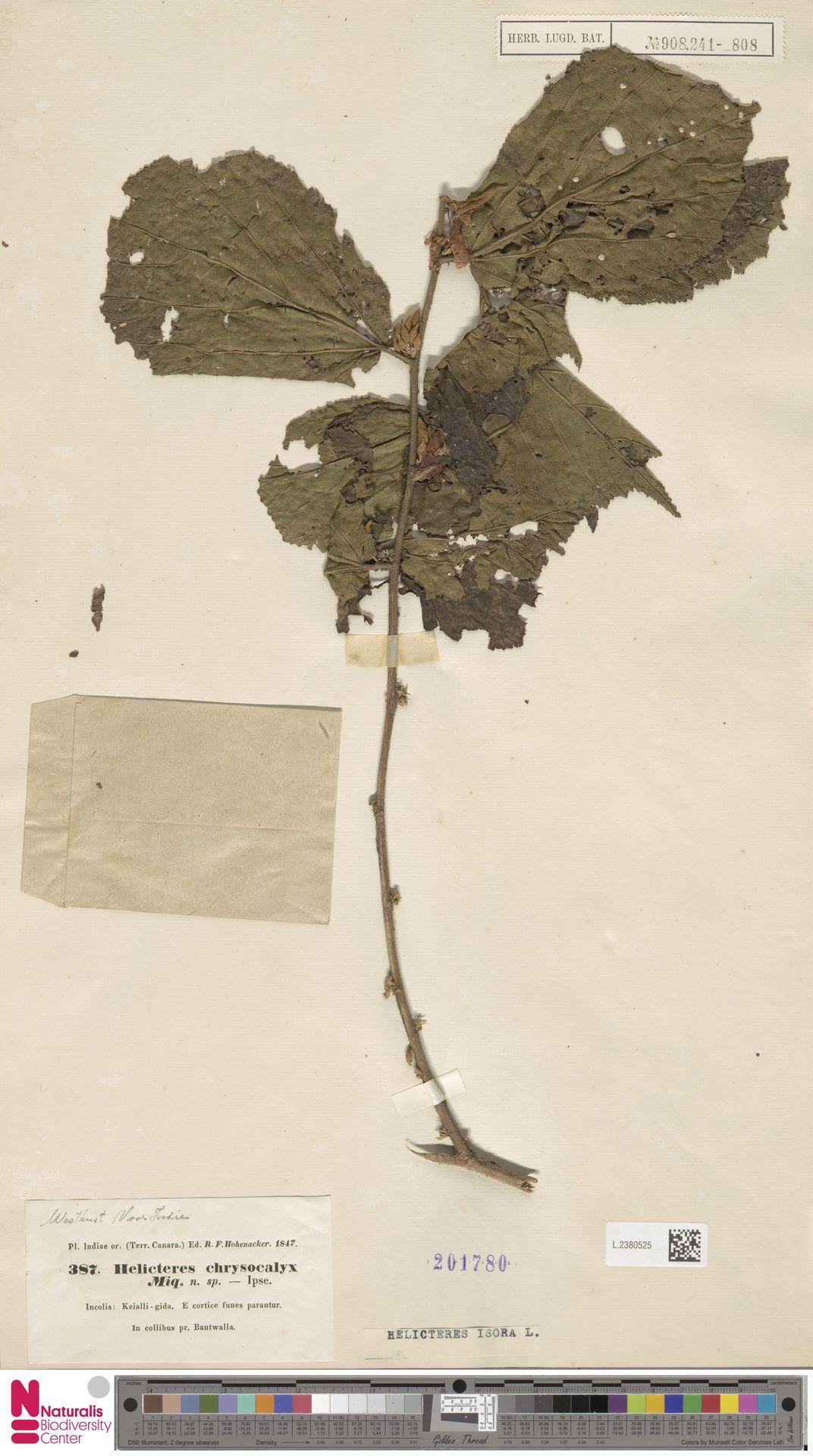 L.2380525 | Helicteres isora L.