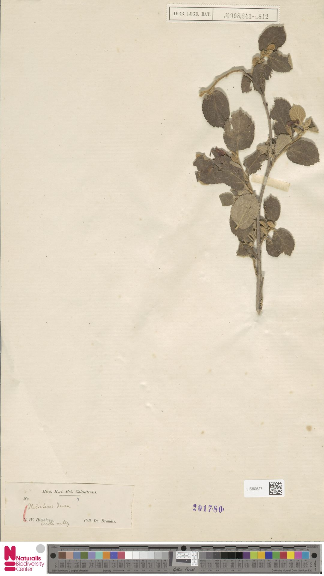 L.2380527 | Helicteres isora L.