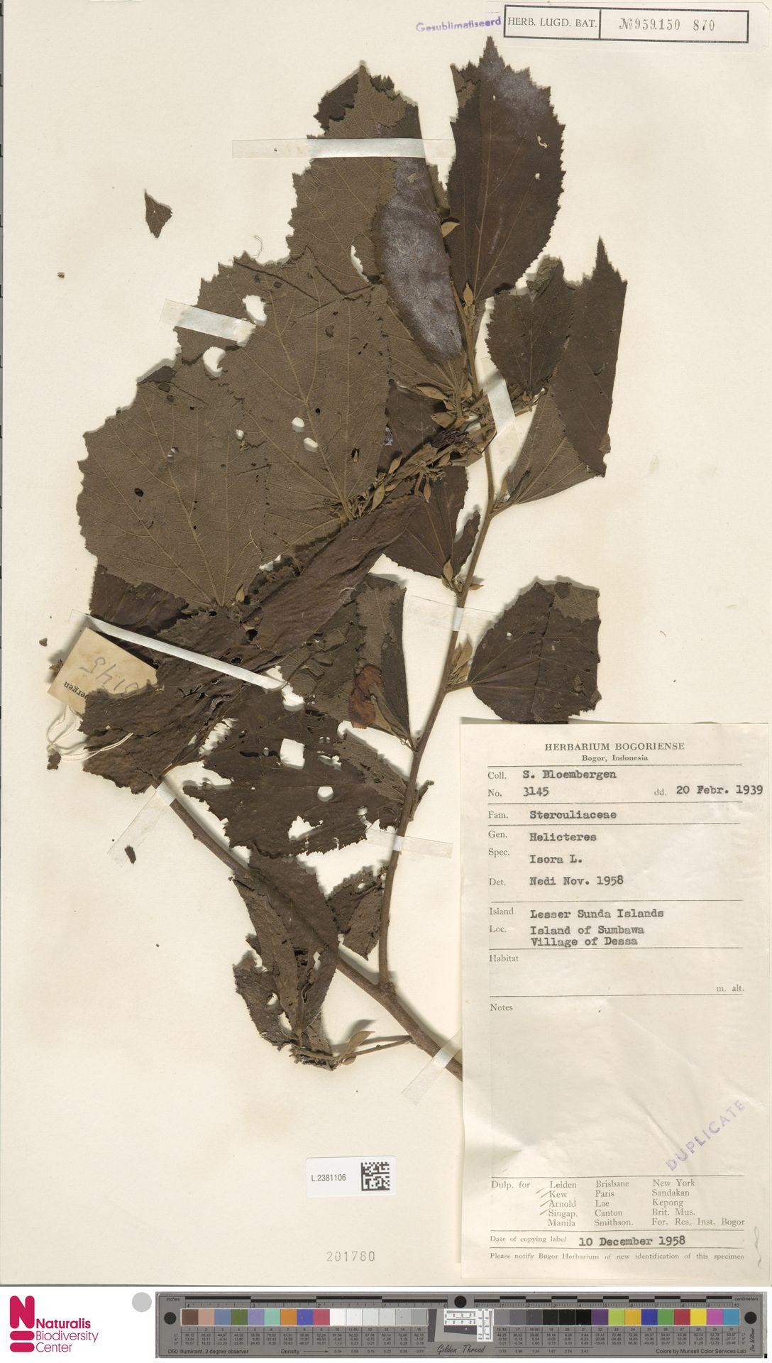 L.2381106 | Helicteres isora L.