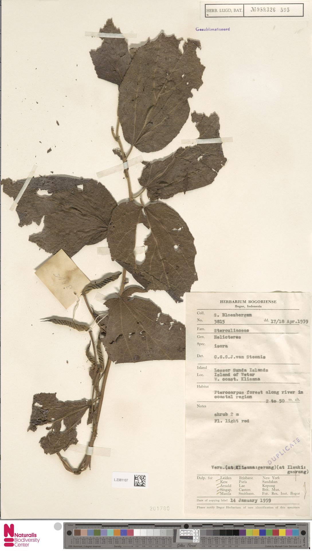 L.2381107   Helicteres isora L.