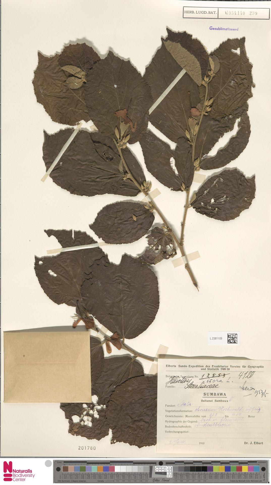 L.2381109 | Helicteres isora L.