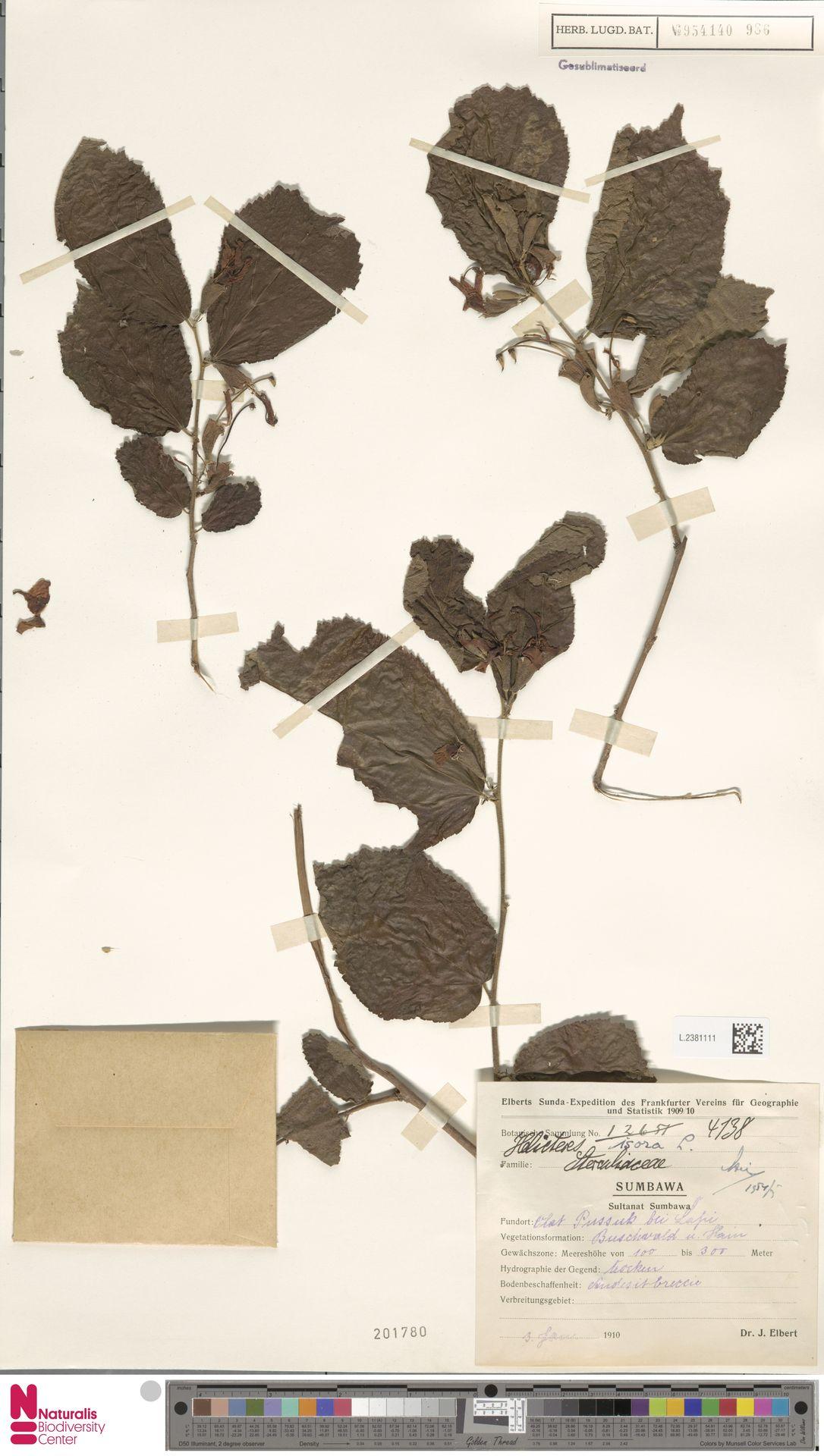 L.2381111 | Helicteres isora L.