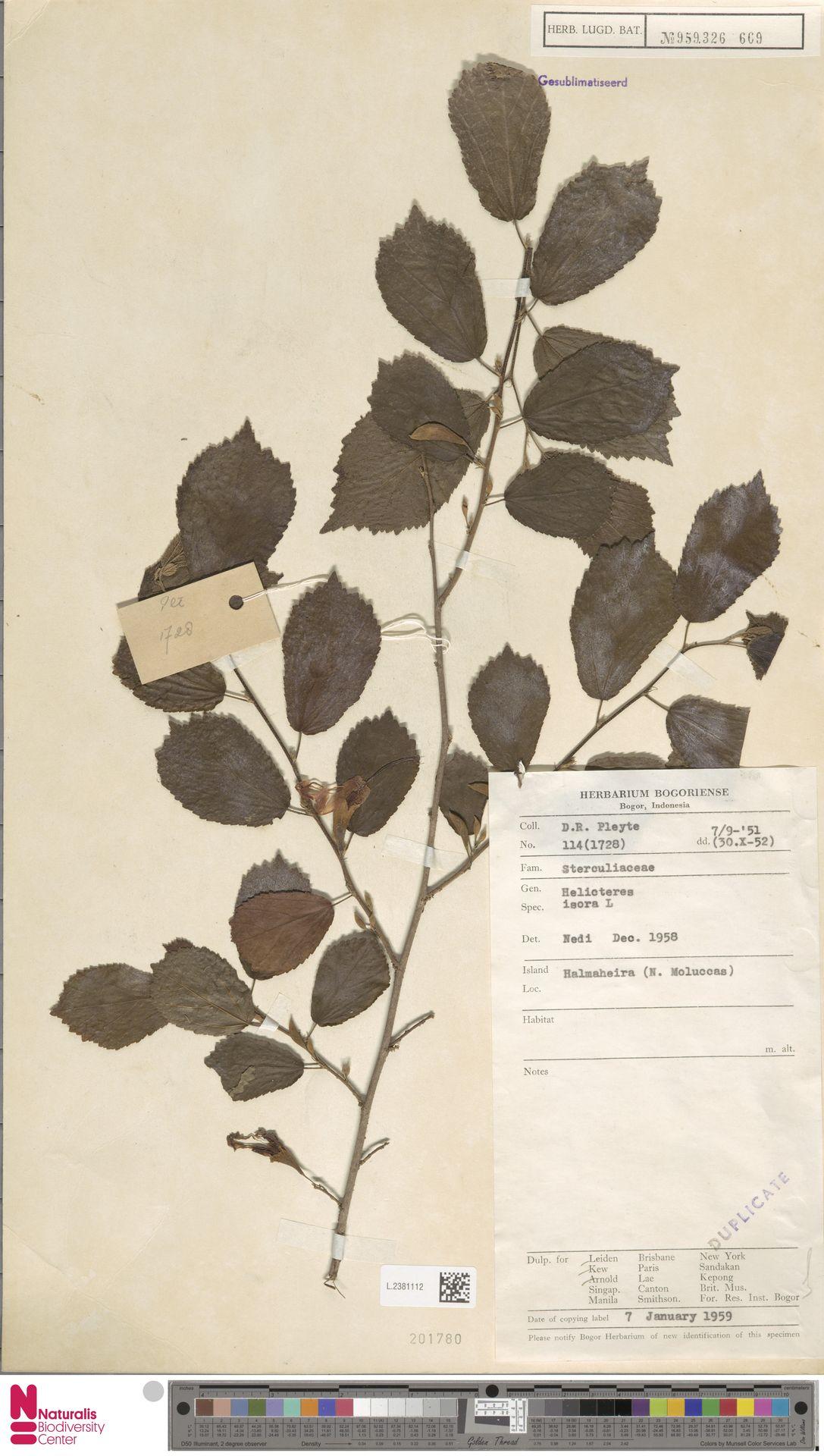 L.2381112   Helicteres isora L.