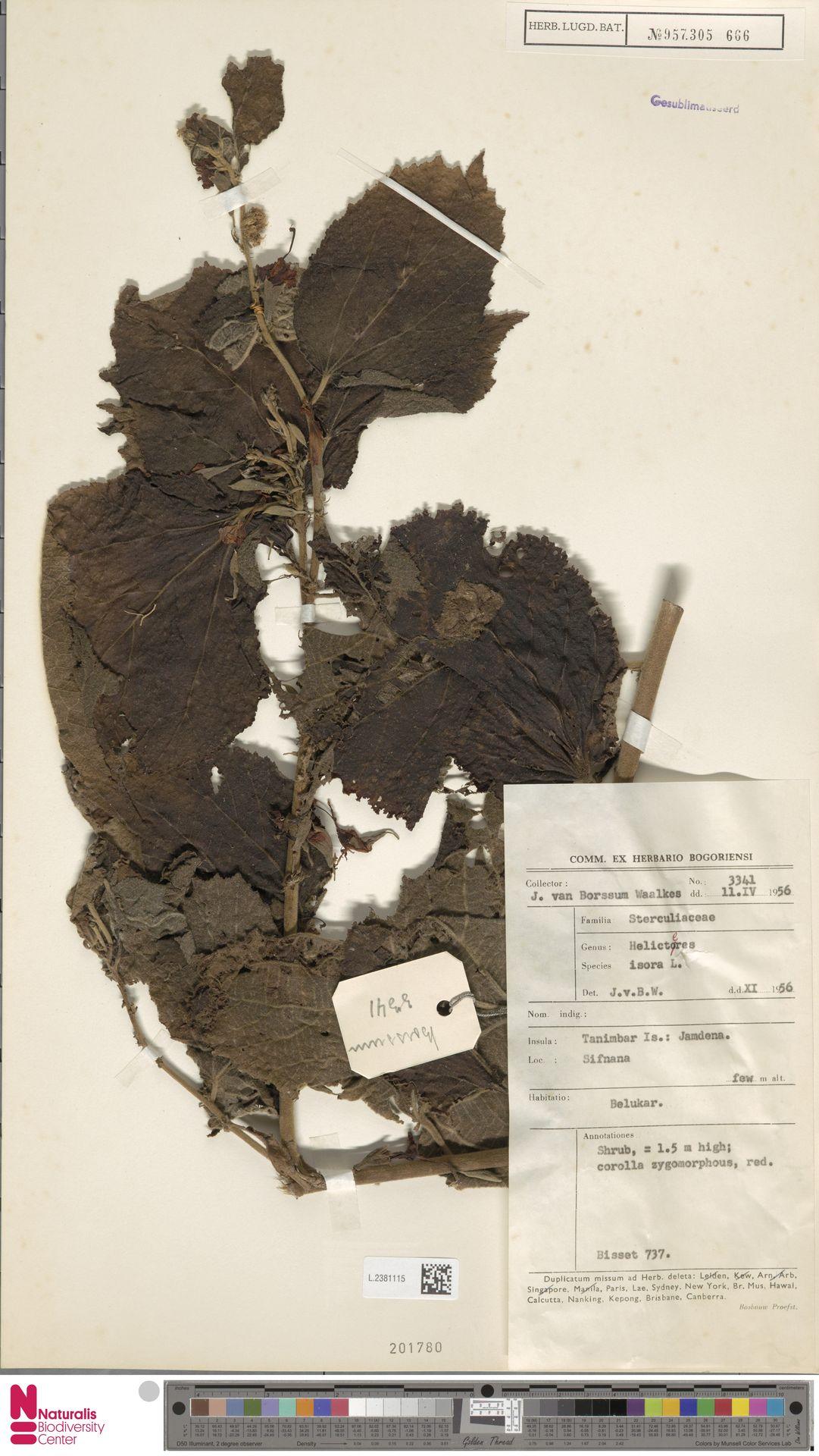 L.2381115 | Helicteres isora L.
