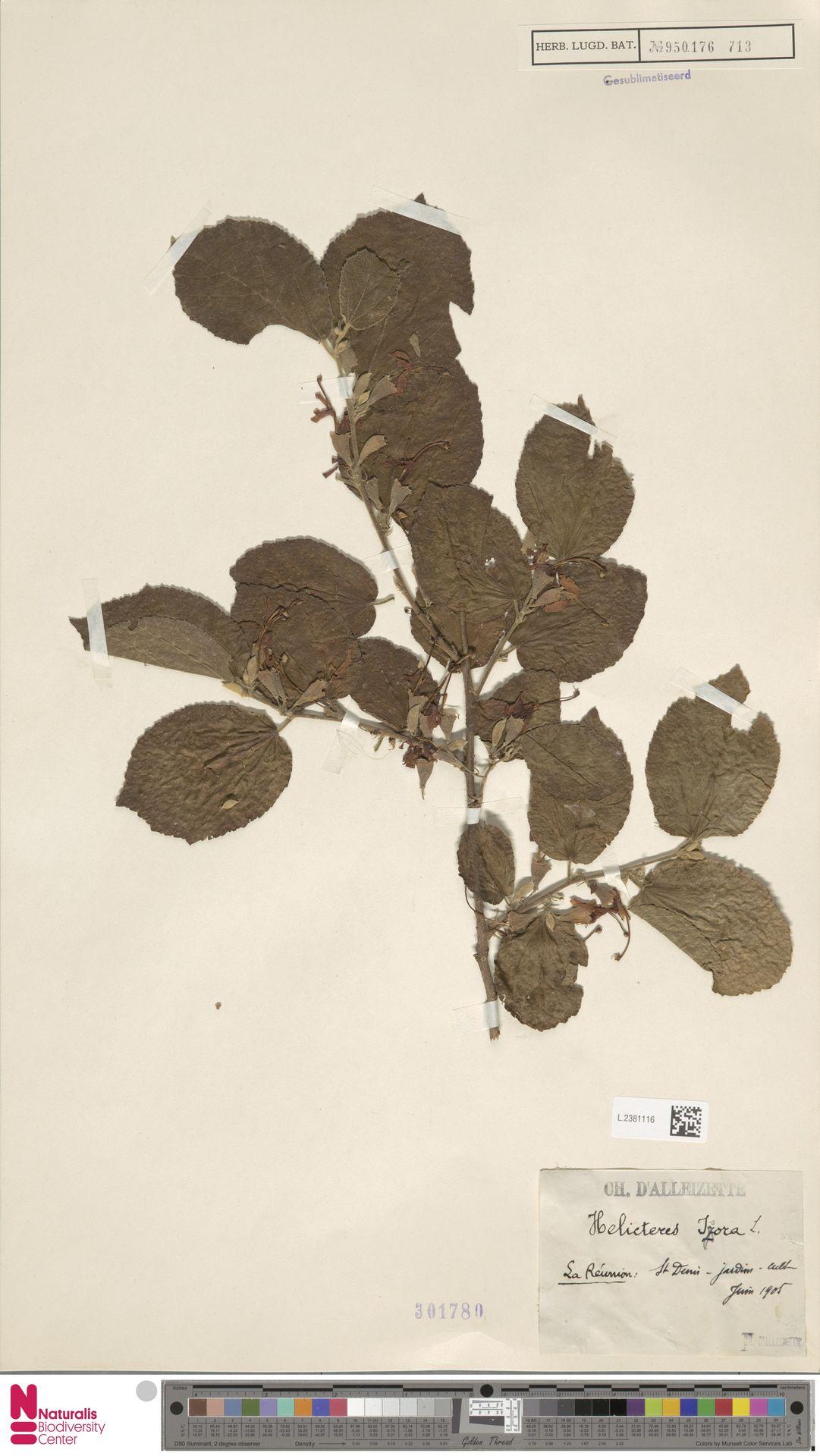 L.2381116 | Helicteres isora L.