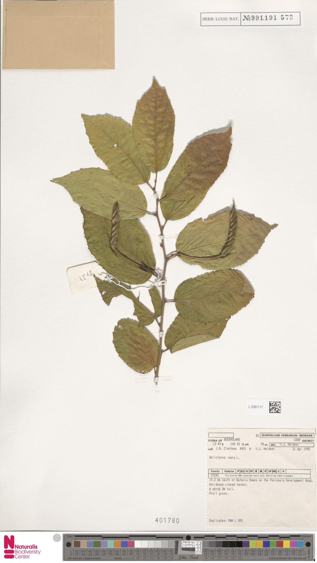 L.2381117 | Helicteres isora L.