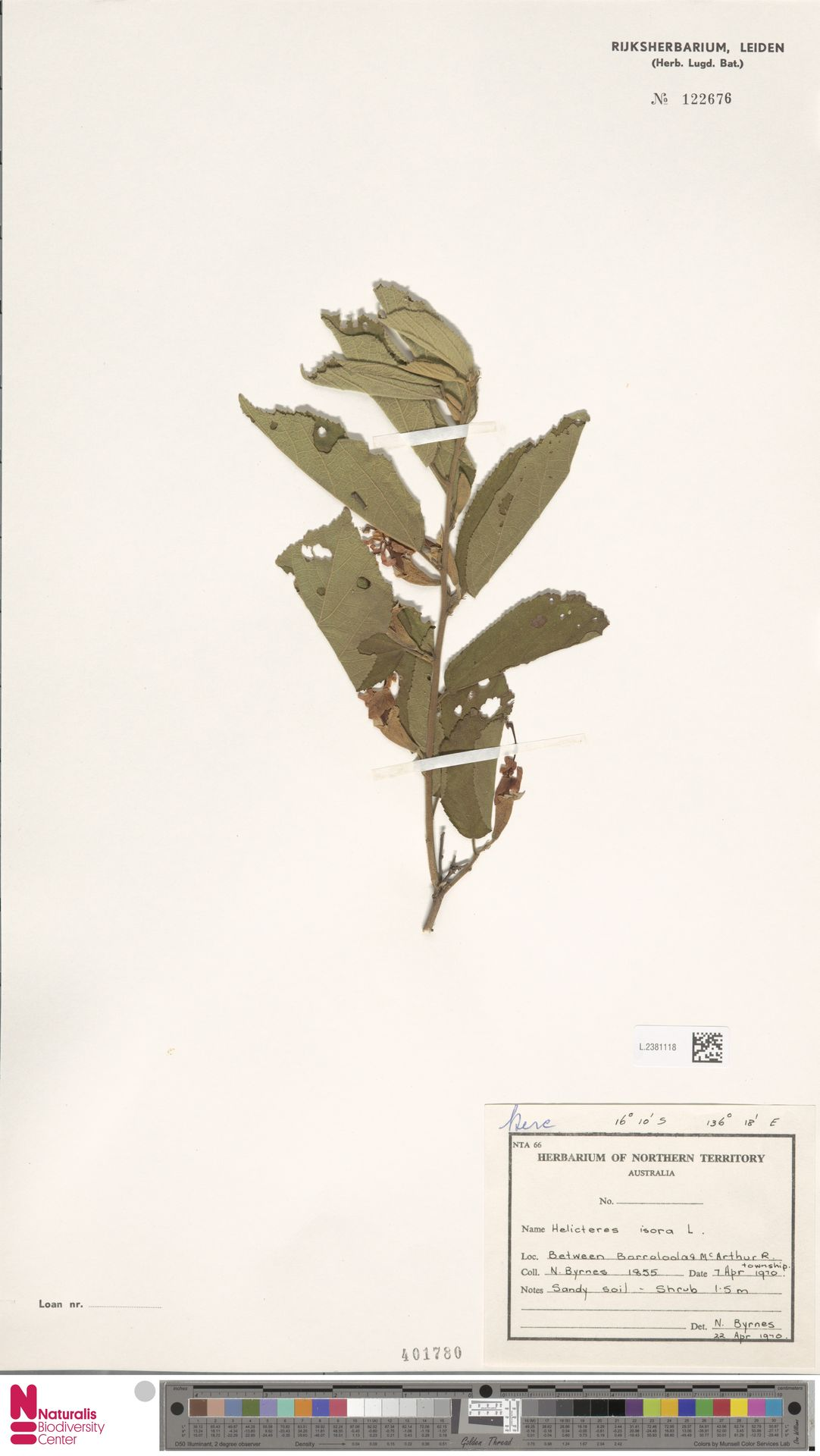L.2381118   Helicteres isora L.