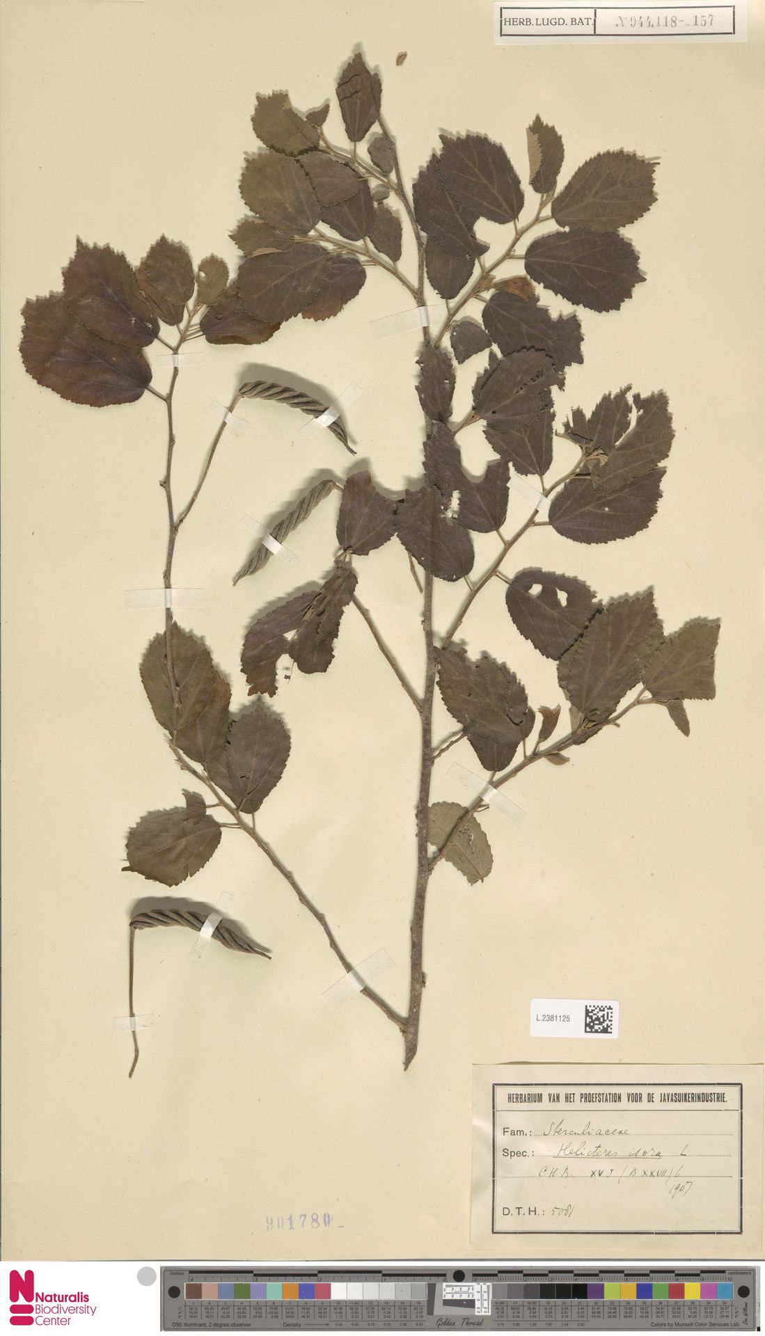 L.2381125 | Helicteres isora L.