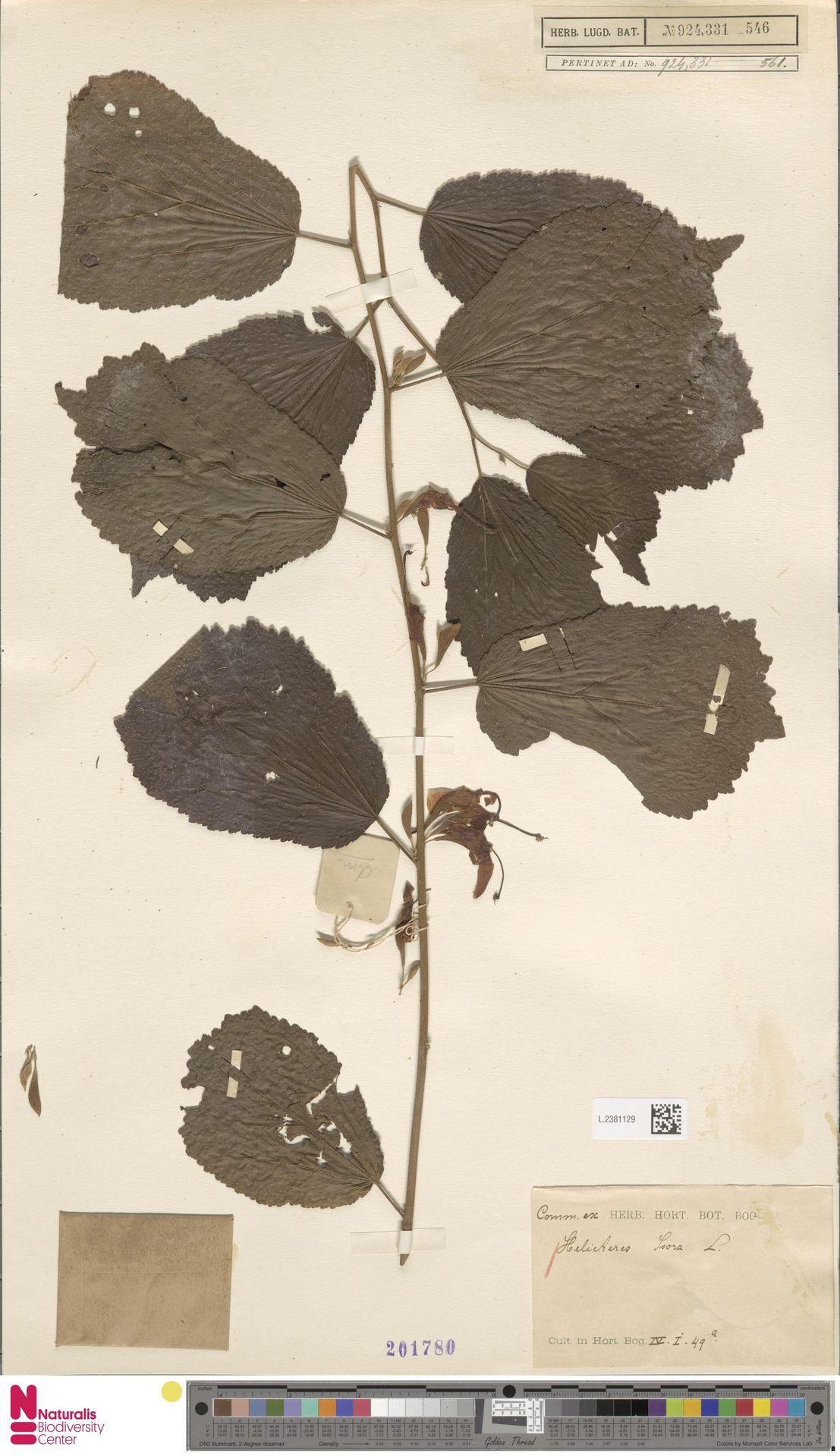 L.2381129 | Helicteres isora L.