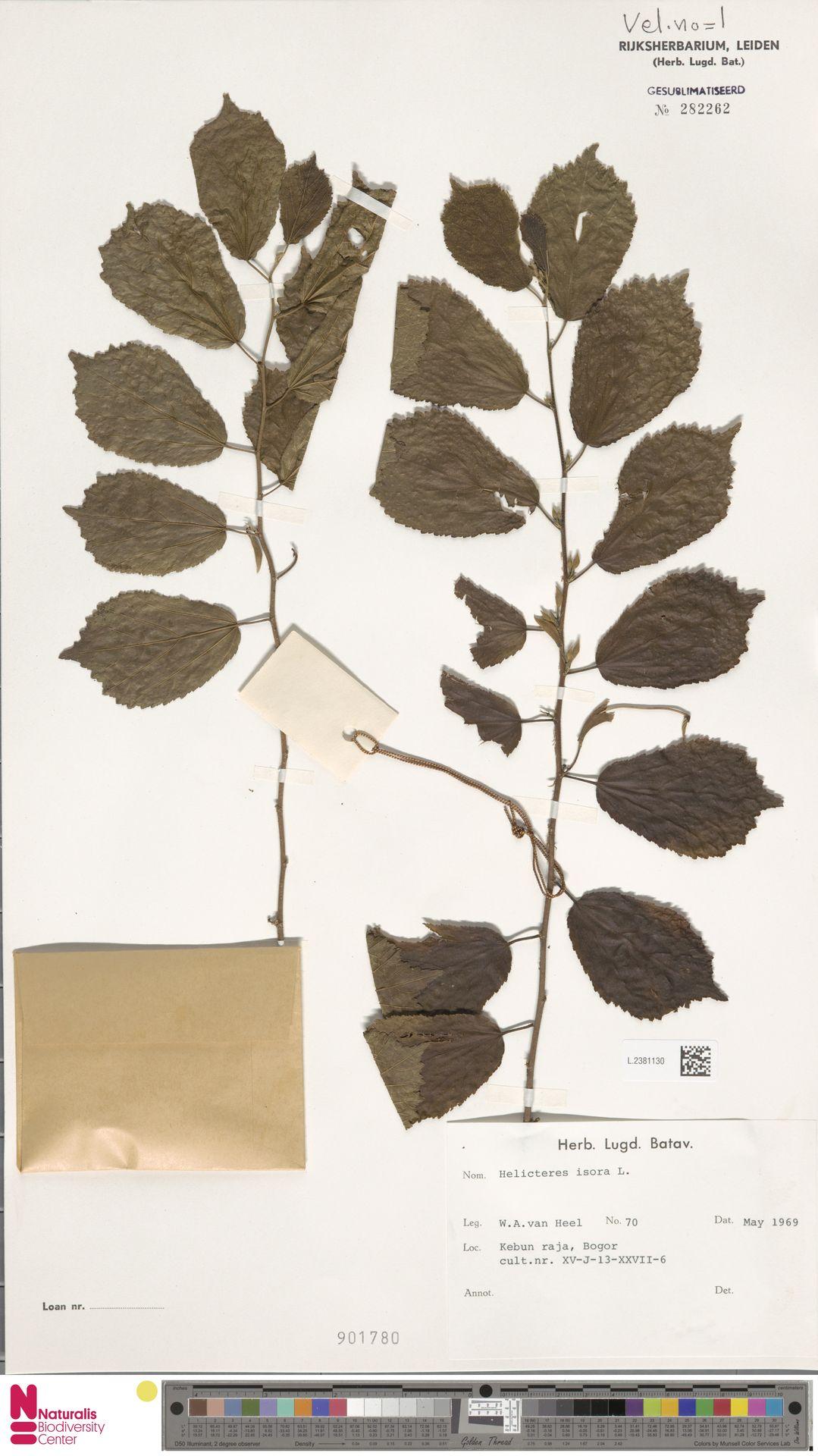 L.2381130 | Helicteres isora L.