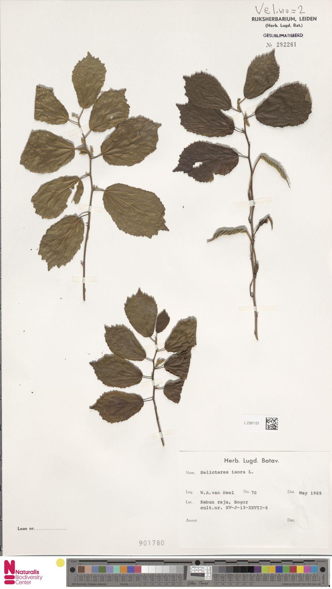 L.2381131 | Helicteres isora L.