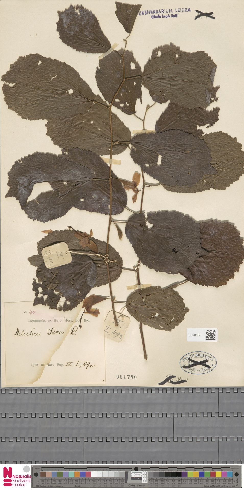 L.2381134 | Helicteres isora L.