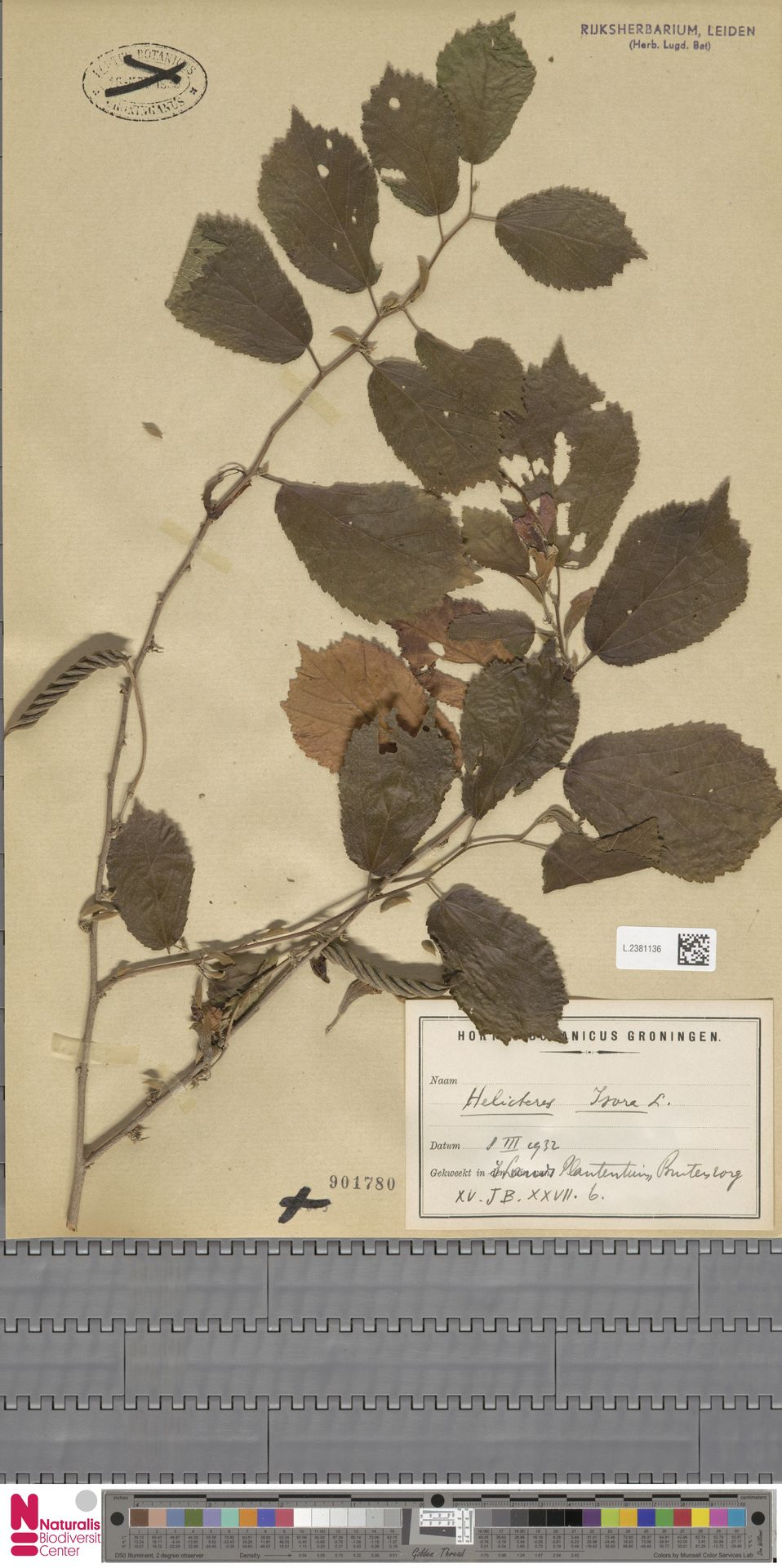 L.2381136 | Helicteres isora L.