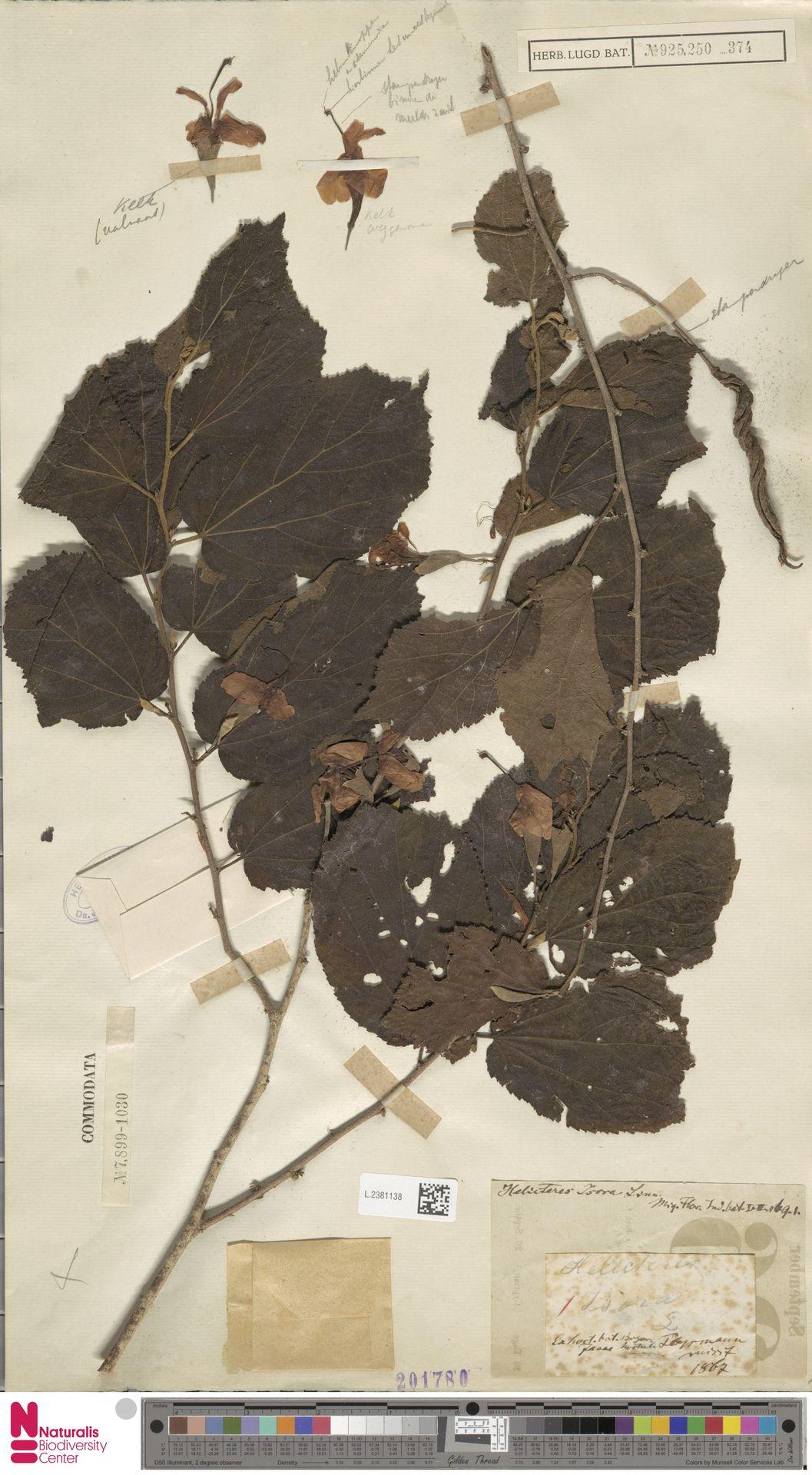 L.2381138 | Helicteres isora L.