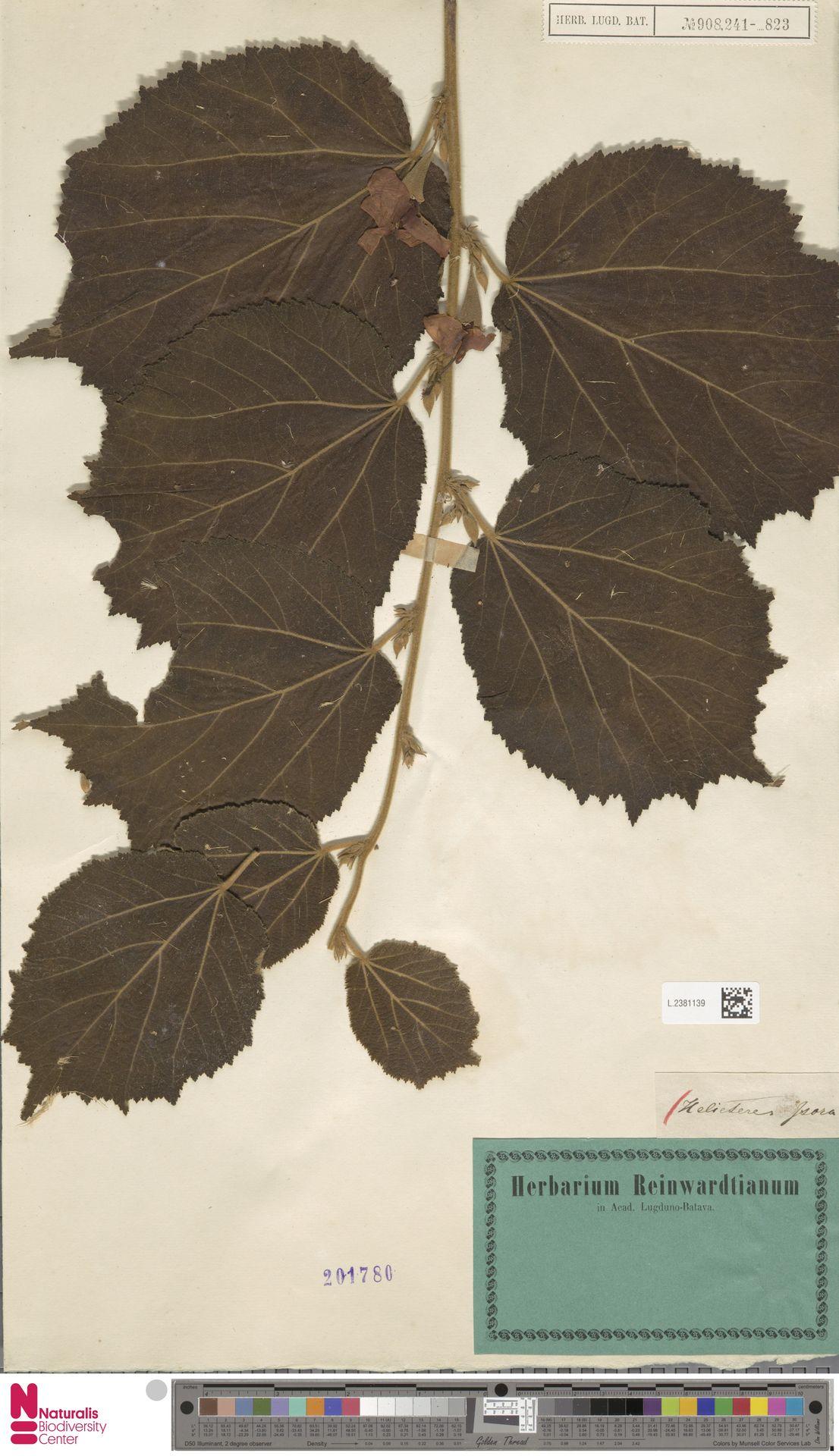 L.2381139 | Helicteres isora L.